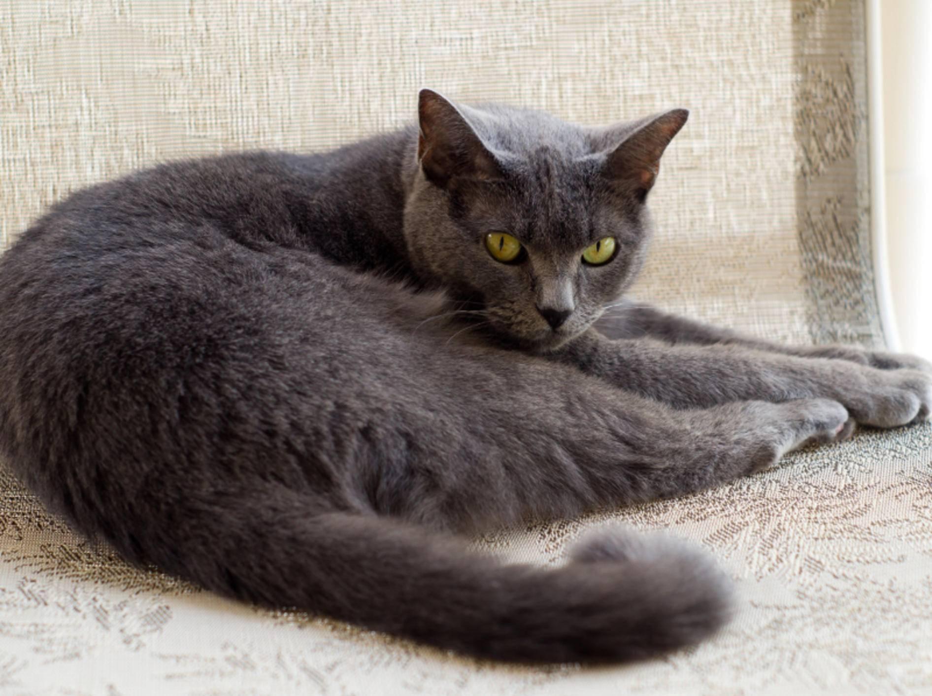 Kartäuser Katzen sind äußerst angenehme Samtpfoten, die mit ihrer natürlichen Schönheit viel Ruhe ausstrahlen – Shutterstock / Tyler Fox