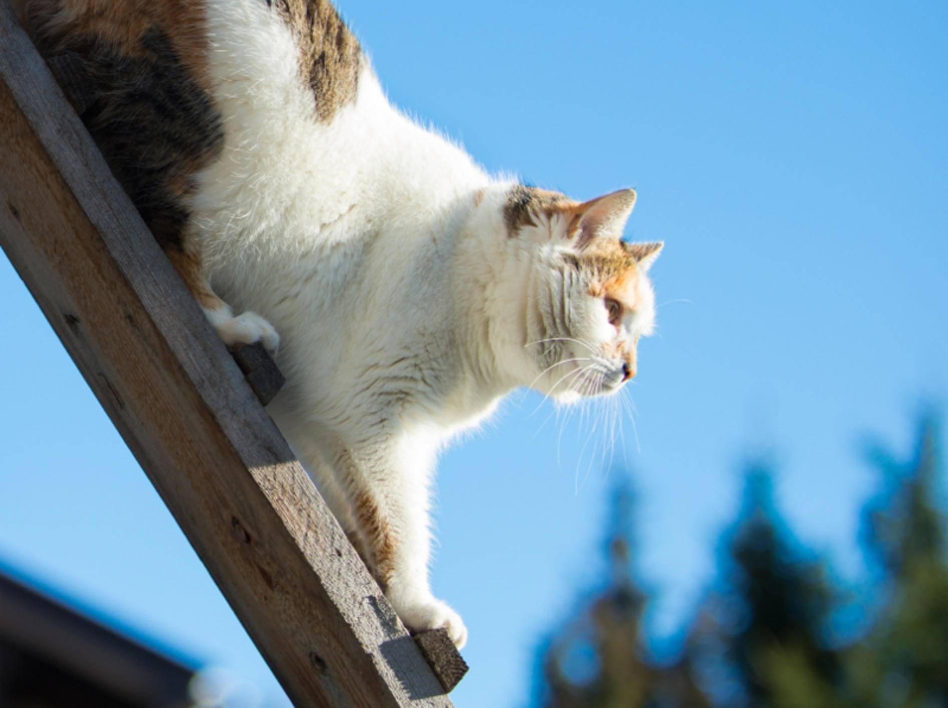 Diese Miez klettert geschickt eine einfache Katzenleiter hinunter – Shutterstock / ASchindl