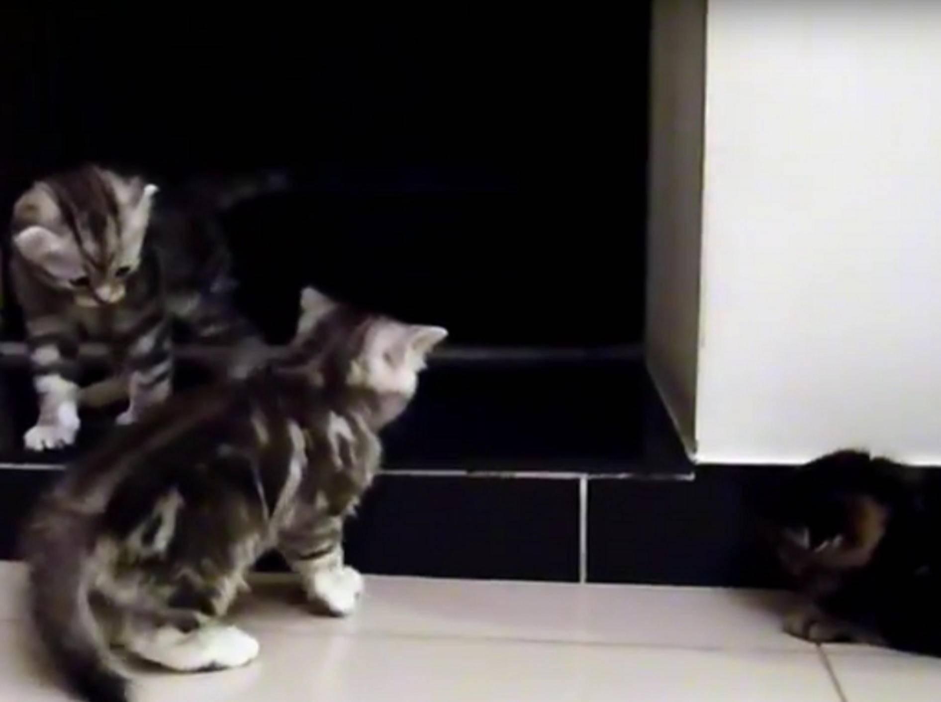 Wenn Katzen zur Musik spielen, ist das einfach nur zuckersüß – YouTube / Funnycatsandnicefish