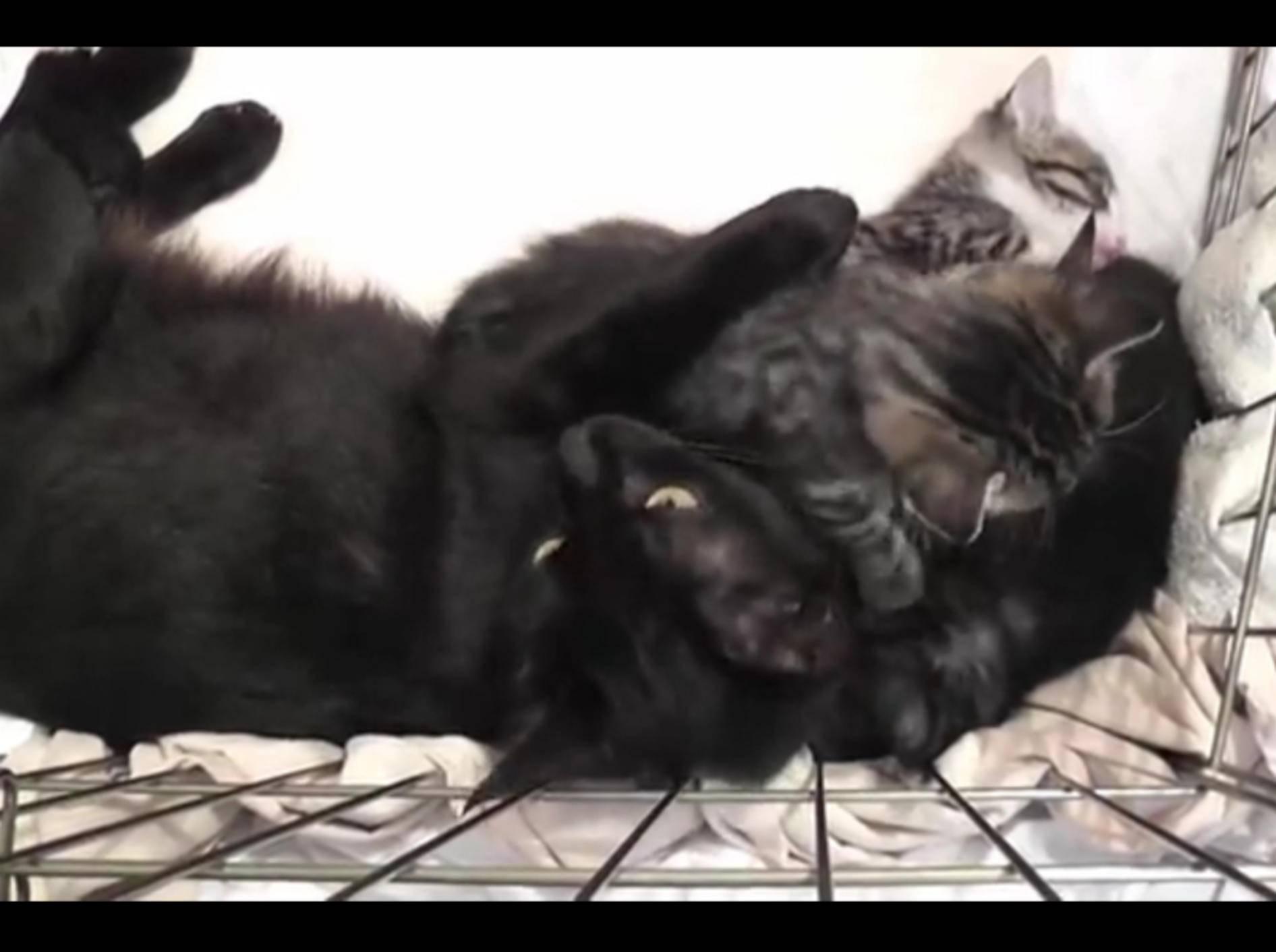 So verschmust und unterhaltsam können Kitten mit ihrer Mama sein – YouTube / DrNworb's KitsCats