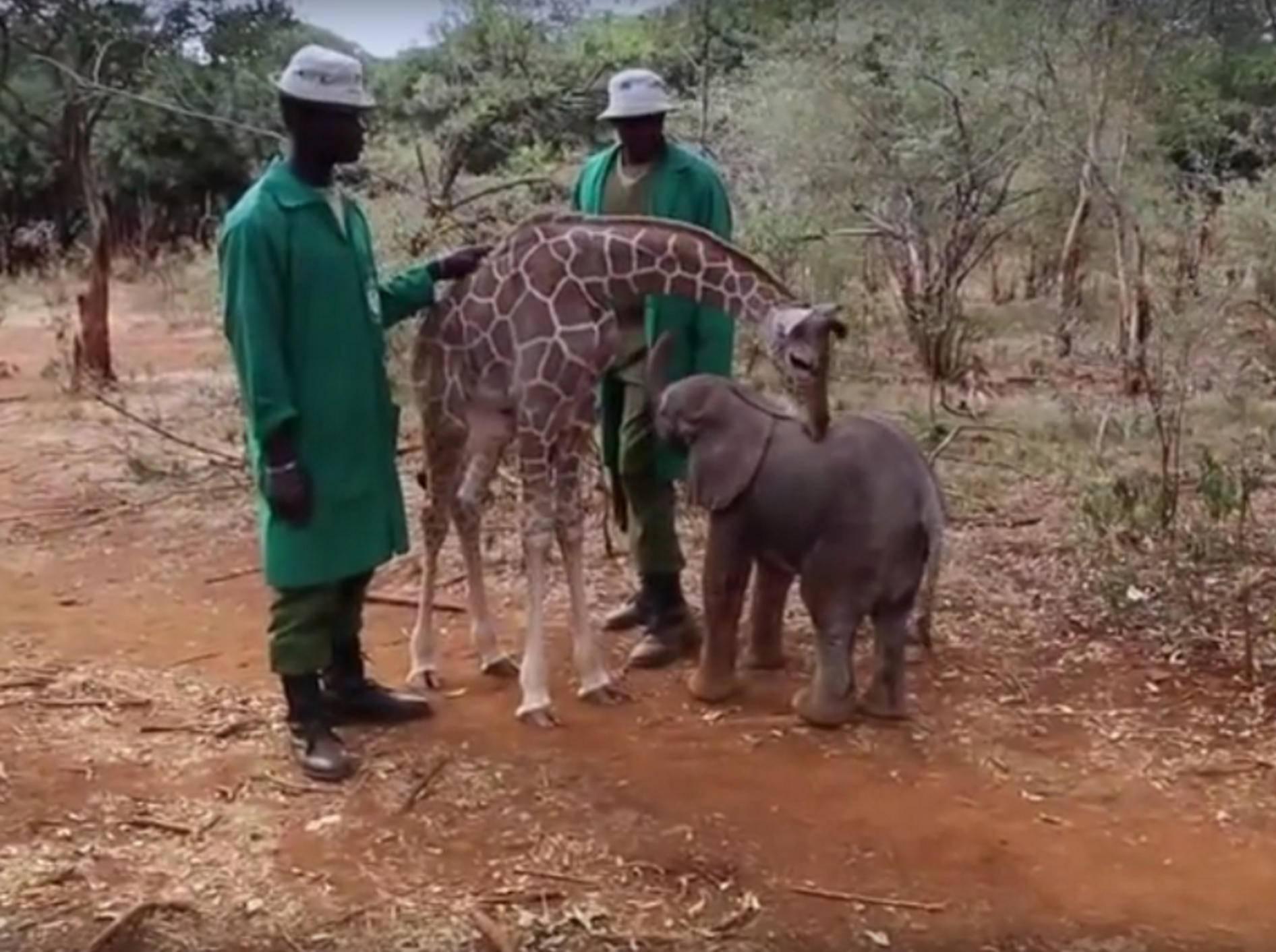 Die Tierwaisen Kiko und Loboito haben ein neues Leben begonnen – Youtube / dswtkenya
