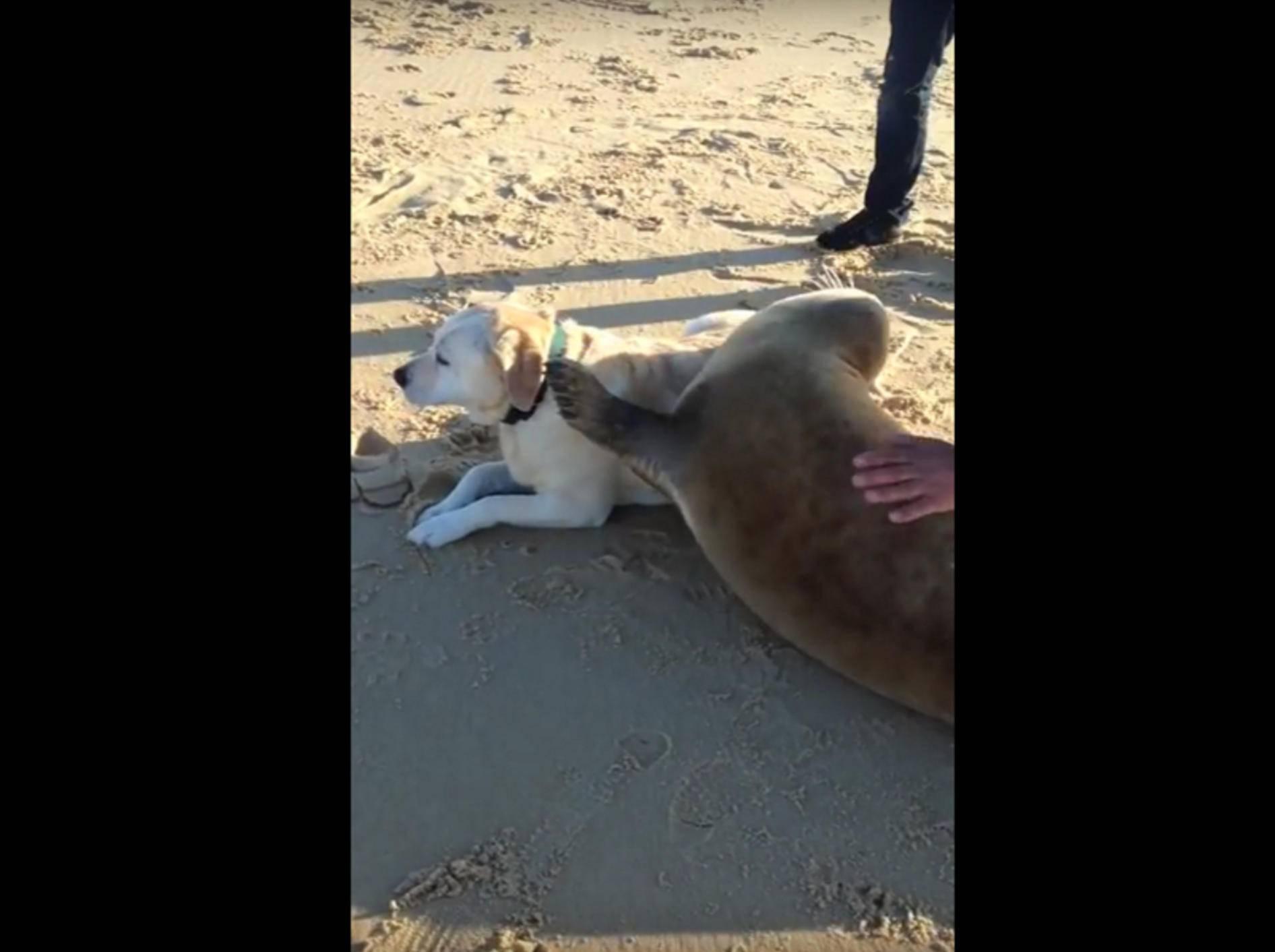 Ein herrlicher Anblick, den dieser schmusefreudiger Seehund und der gemütliche Labrador abgeben – YouTube / THUG LIFE VIDZ