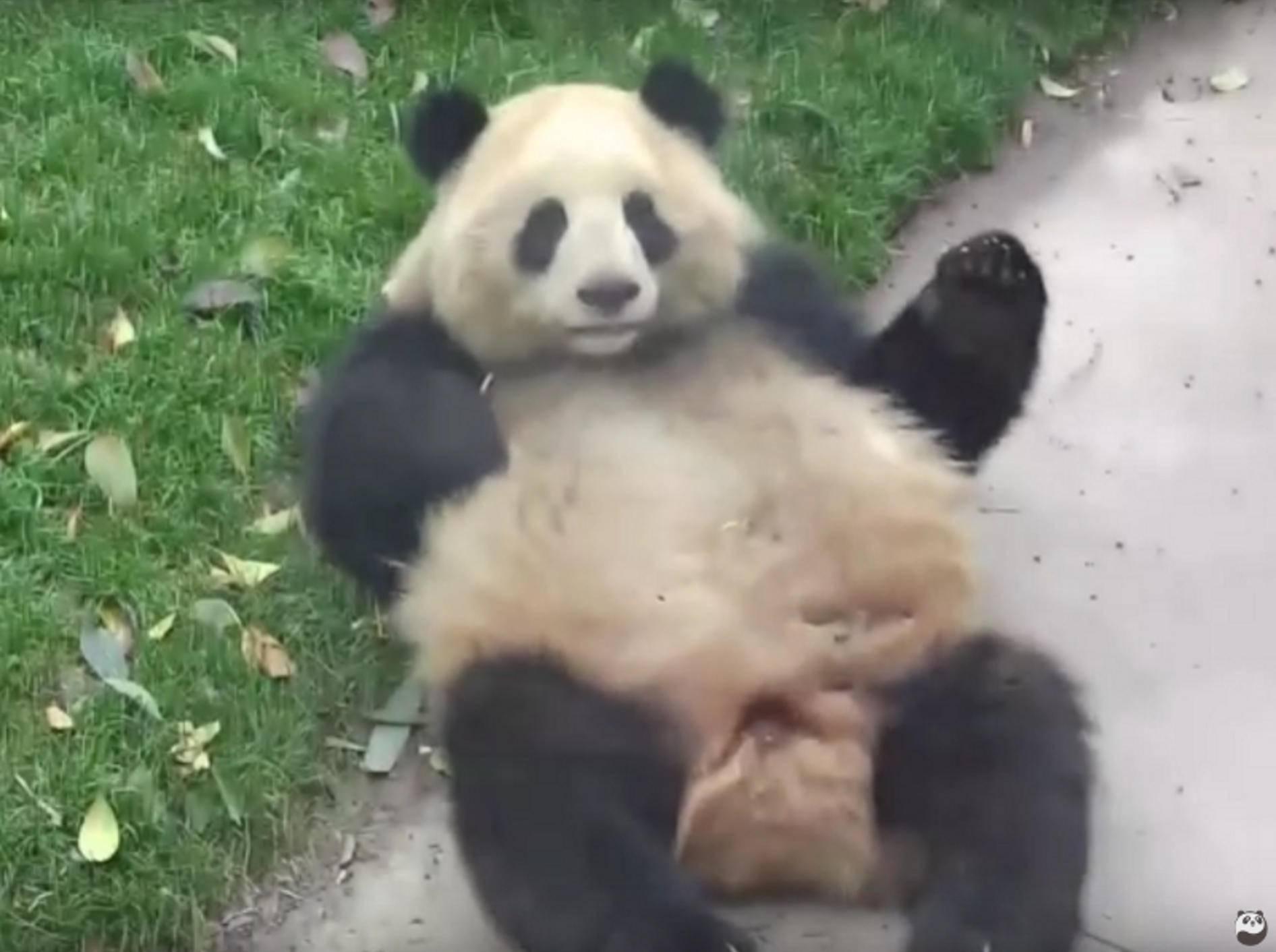Der Panda hat Spaß an Überschlägen – YouTube / iPanda