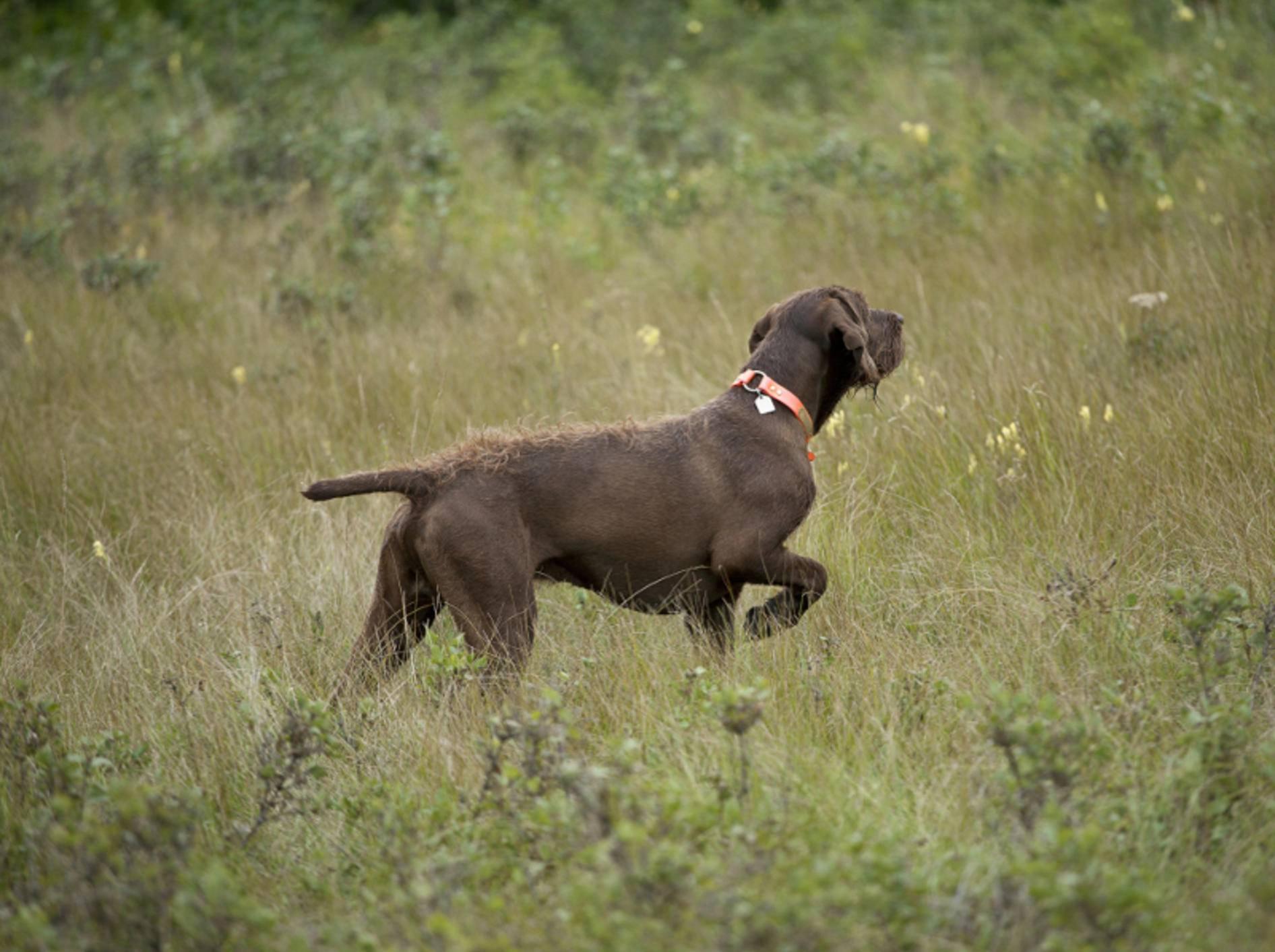 Hunde, die vorstehen, heben oft ein Bein und winkeln es an, wie dieser Pudelpointer zeigt – Shutterstock / Barna Tanko