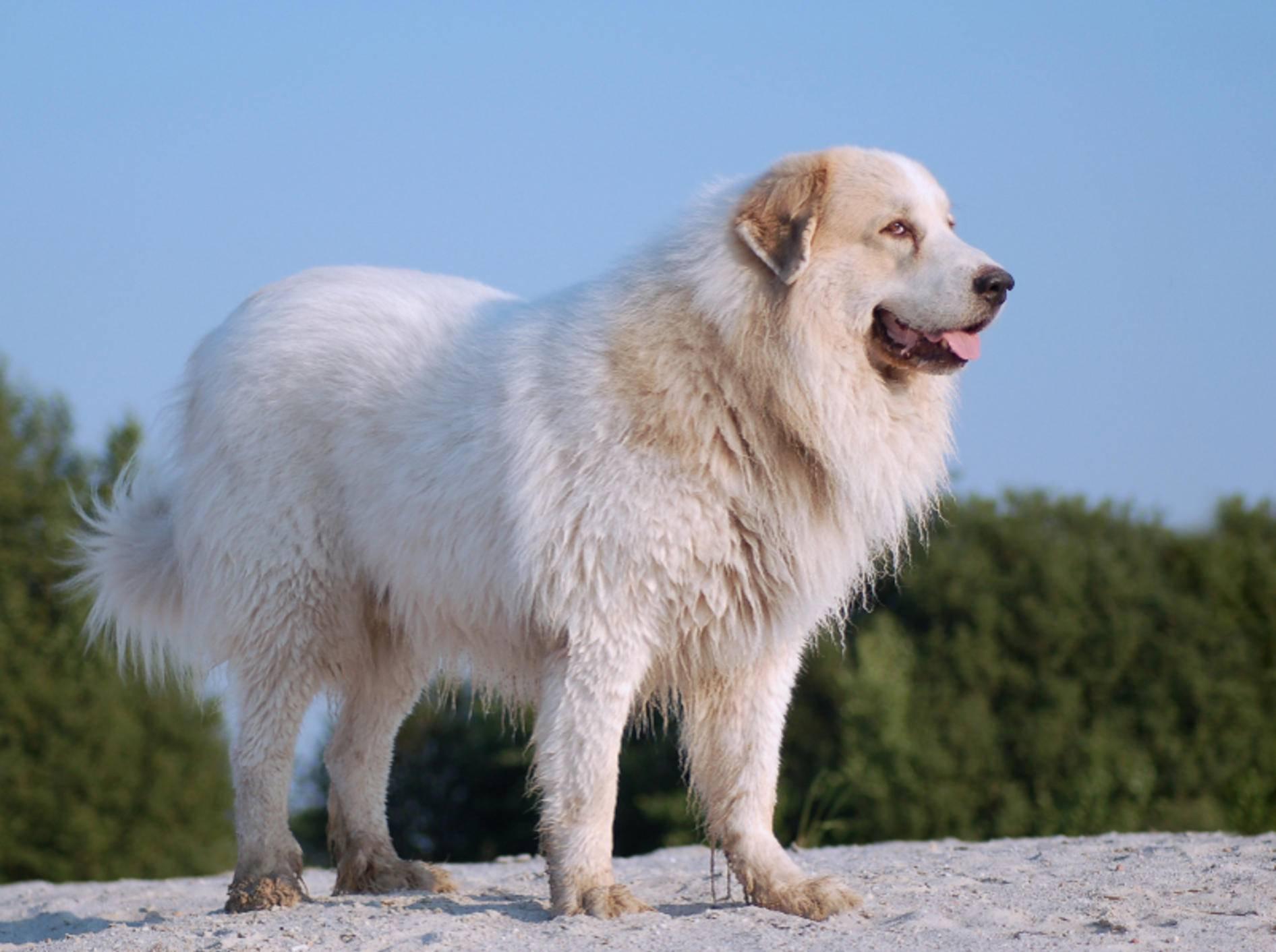 Der Pyrenäenberghund ist ein imposanter Rassehund, der viel Bewegung und konsequente Erziehung braucht – Shutterstock / schubbel