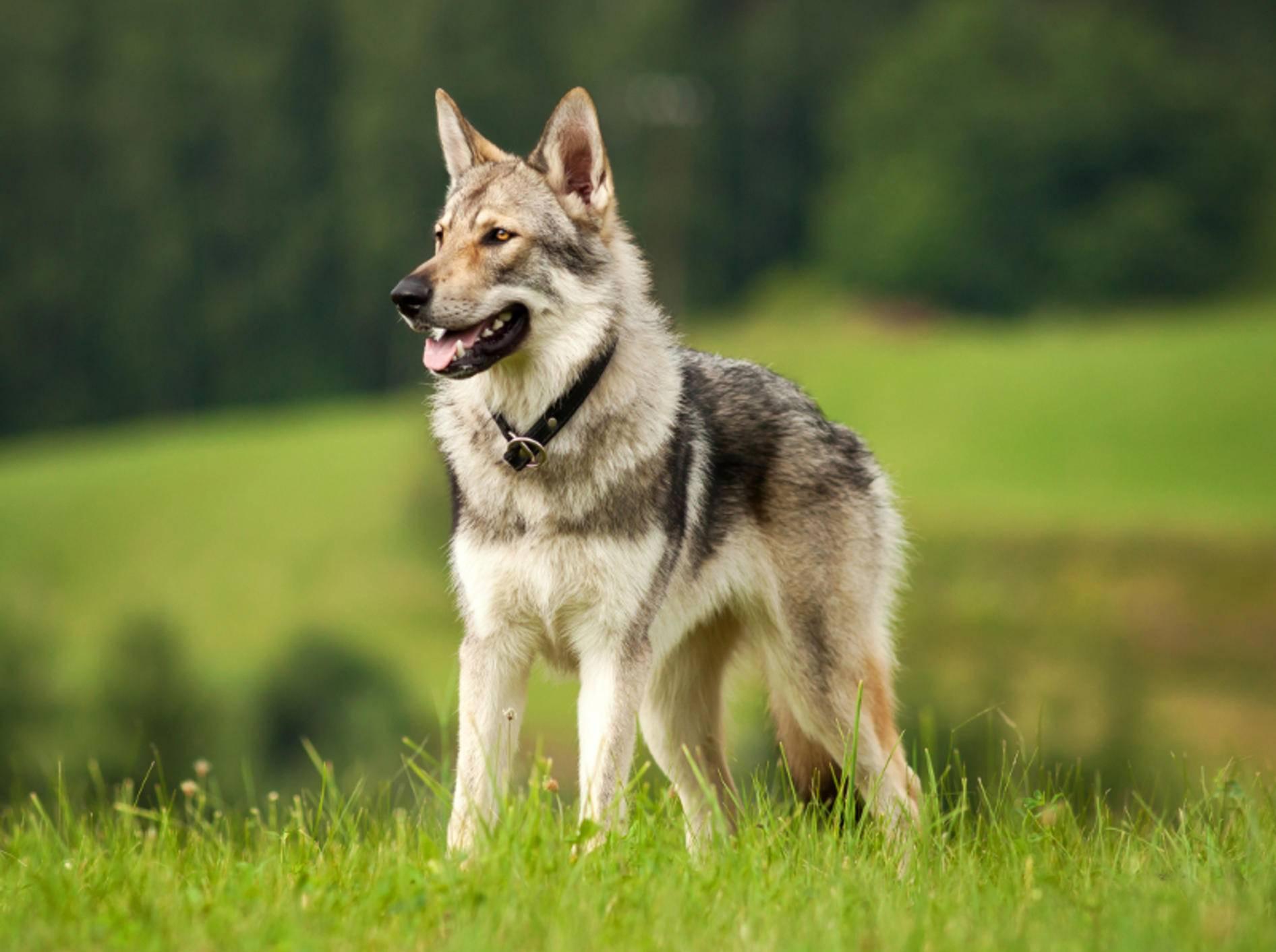 Der wunderbare Tschechoslowakische Wolfshund hat eine ganz besondere, natürliche Ausstrahlung – Shutterstock / gloverk
