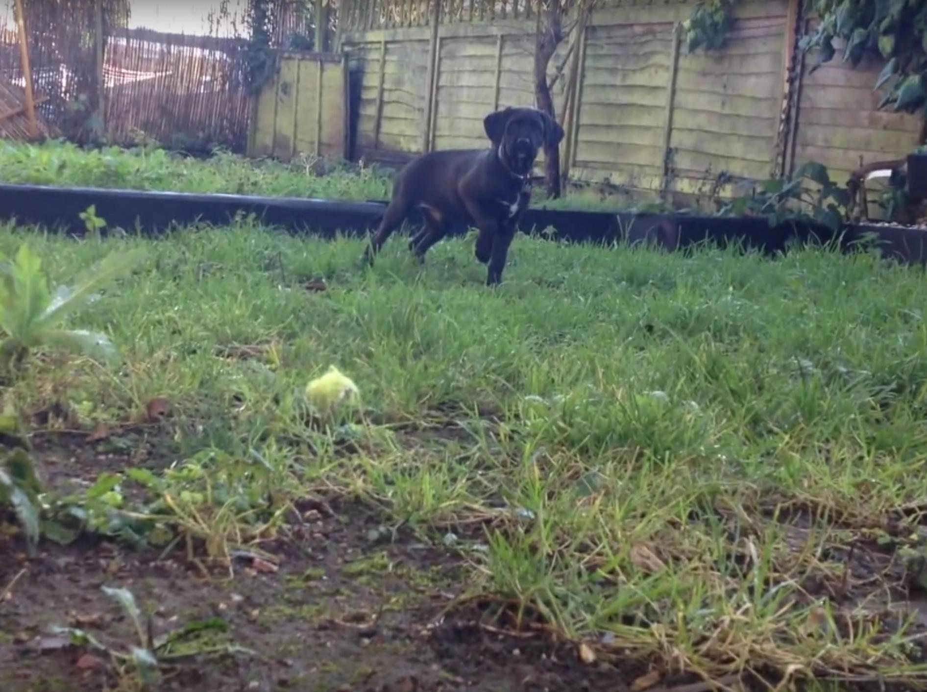 Der kleine Welpe denkt, er sei ein großer Jagdhund – YouTube / Rumble Viral