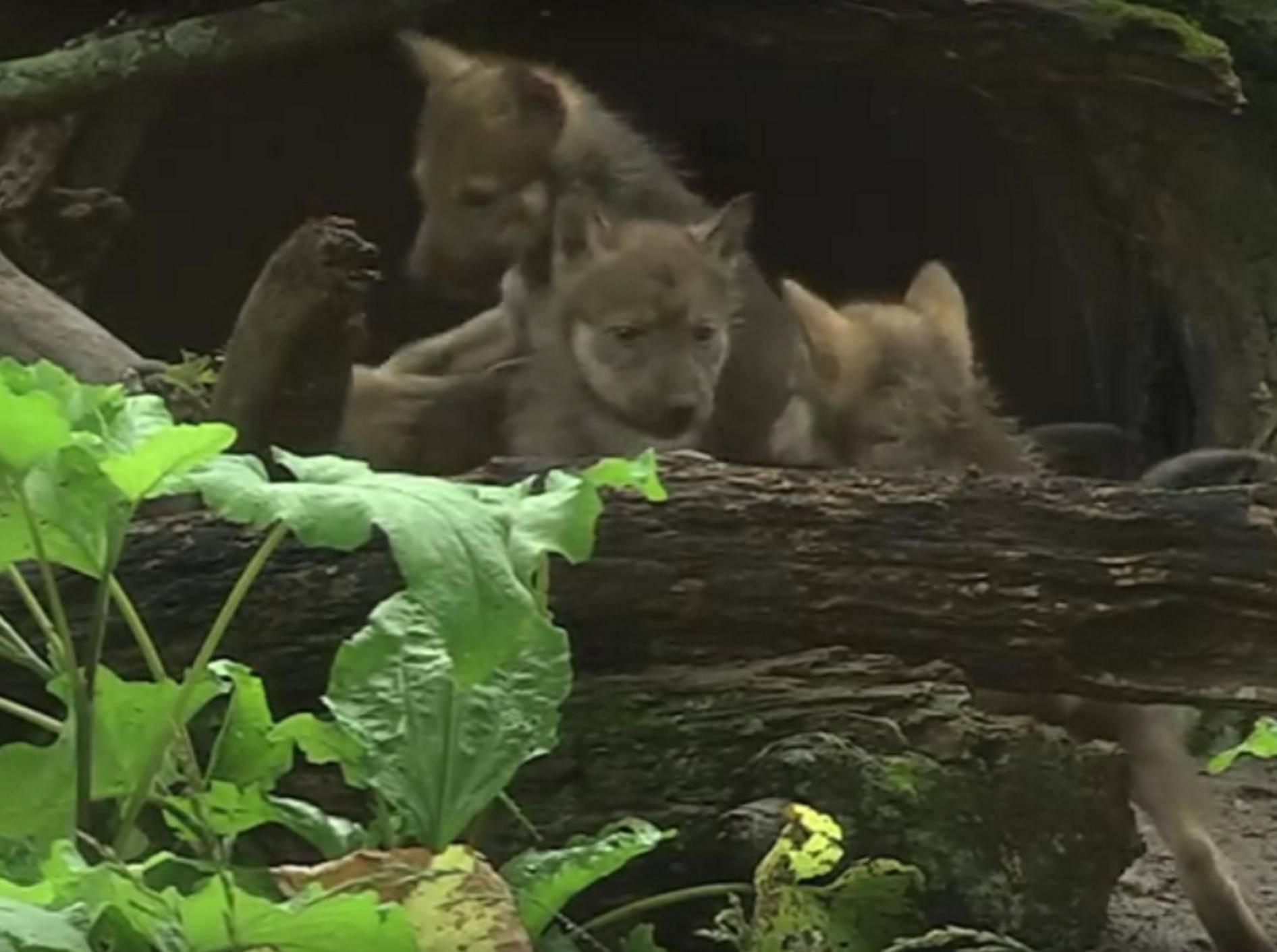 Die kleinen Wolfswelpen erkunden unter dem Schutz ihrer Mutter die Umgebung – YouTube / Brookfield Zoo