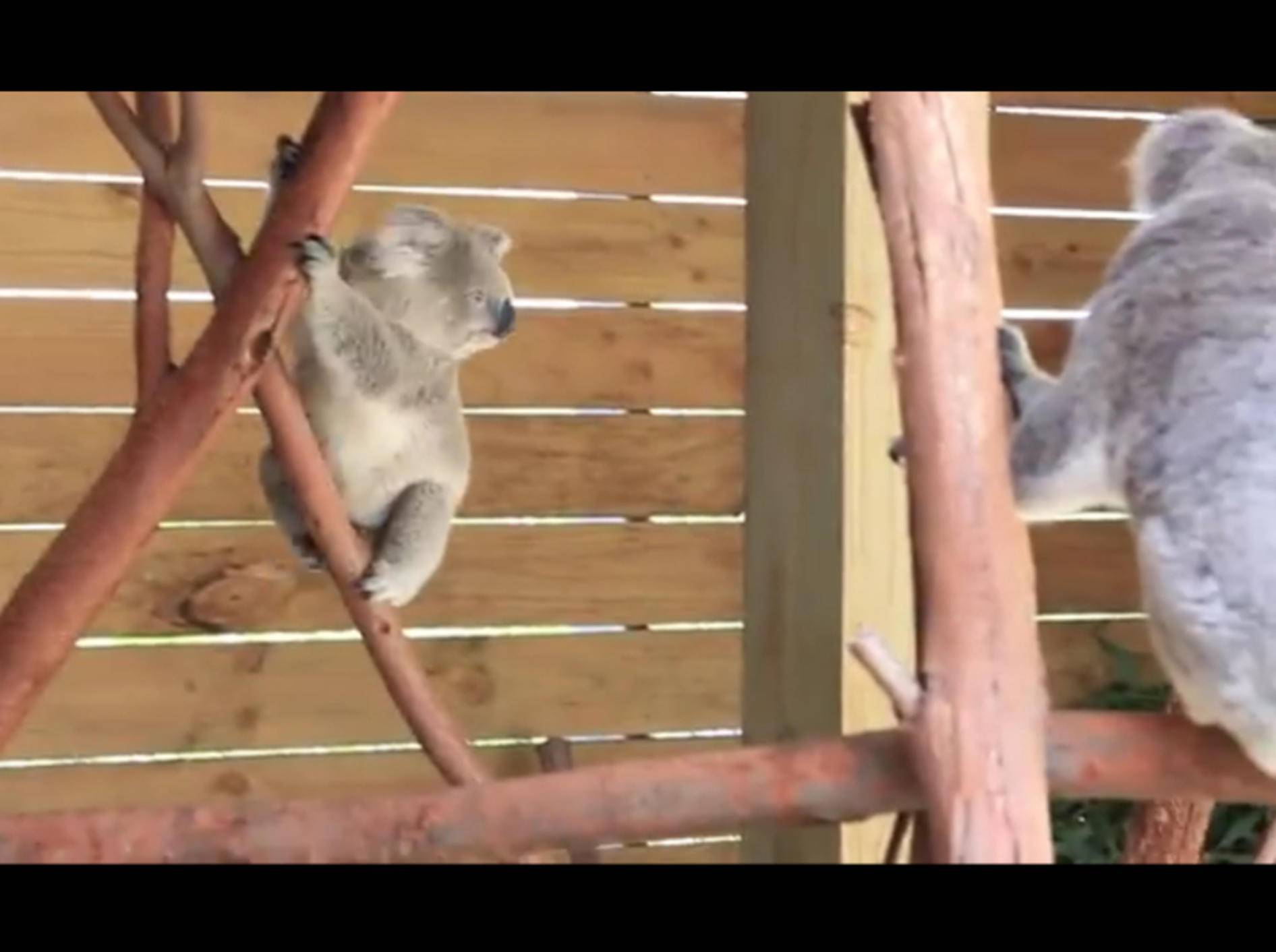 Zwei-Koalas-springen-herum-Symbio Wildlife Park-youtube