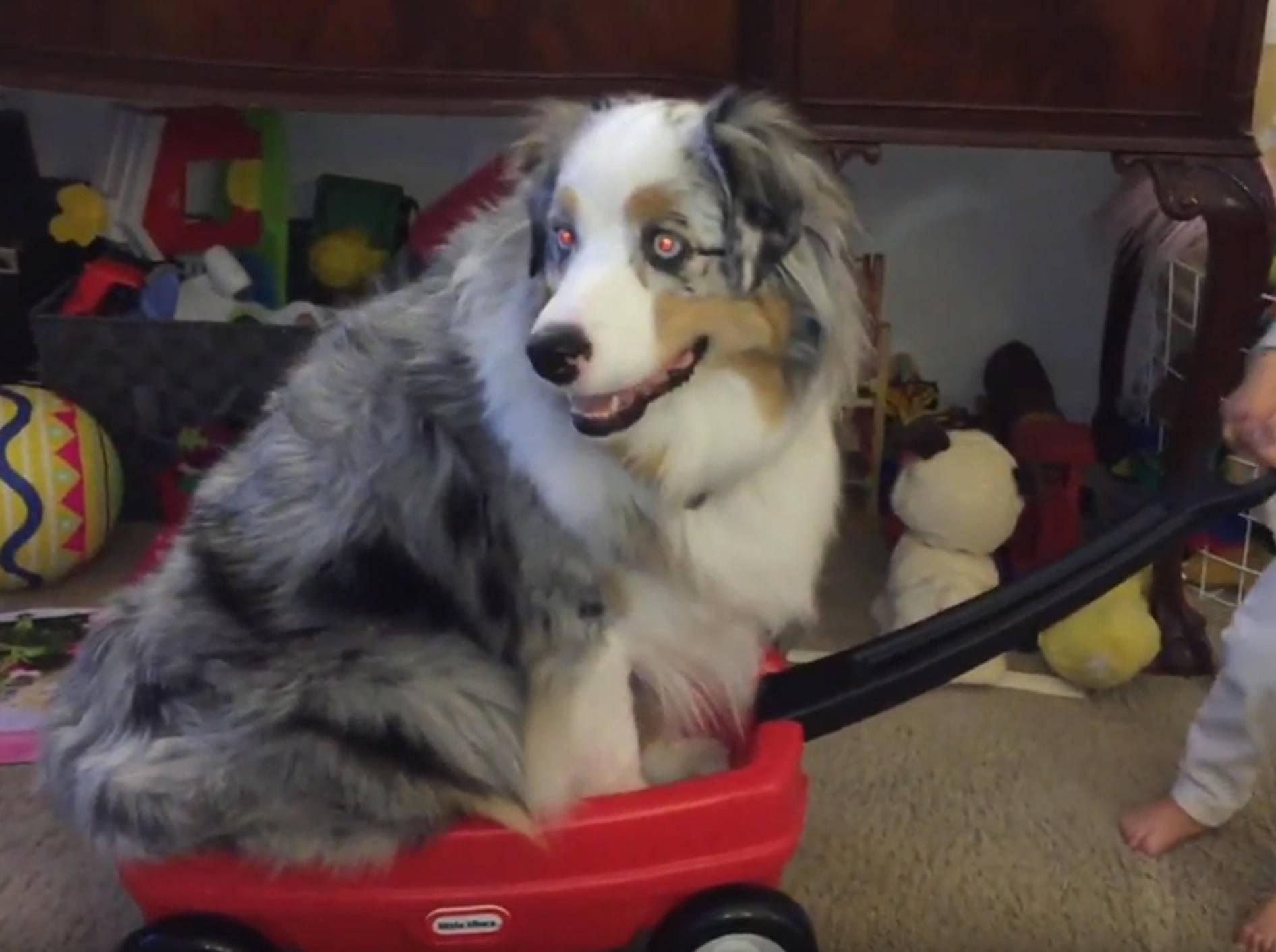 Australian Shepherd beweist beim Spielen Engelsgeduld – YouTube / Rumble Viral