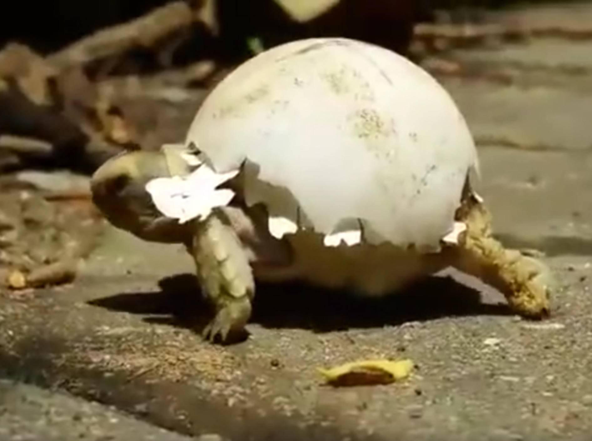 Baby-Schildkröte trägt ihre Eierschale auf dem Rücken spazieren – Youtube / Schildkrötenwelt