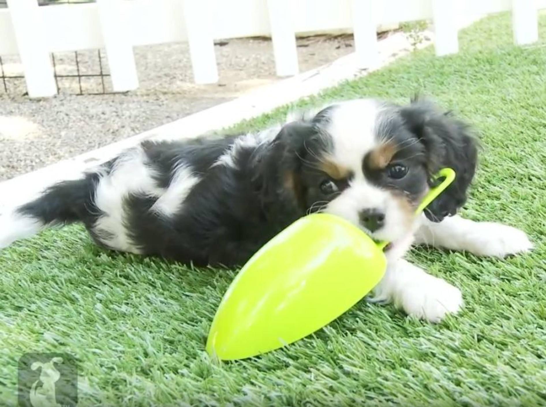 Tapsige Cavalier King Charles Spaniel Welpen beim Spielen – YouTube / The Pet Collective