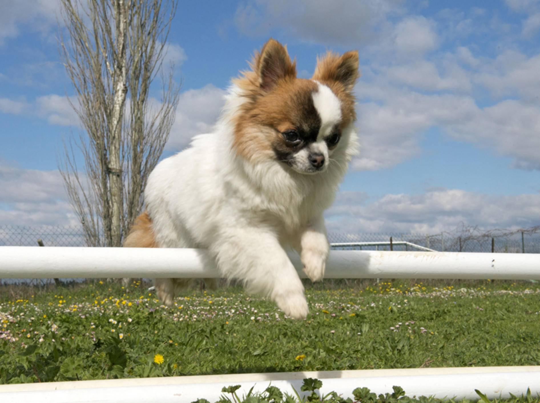 Auch kleine Chihuahua-Welpen haben bereits viel Spaß beim Hundesport wie Agility – Shutterstock / cynoclub