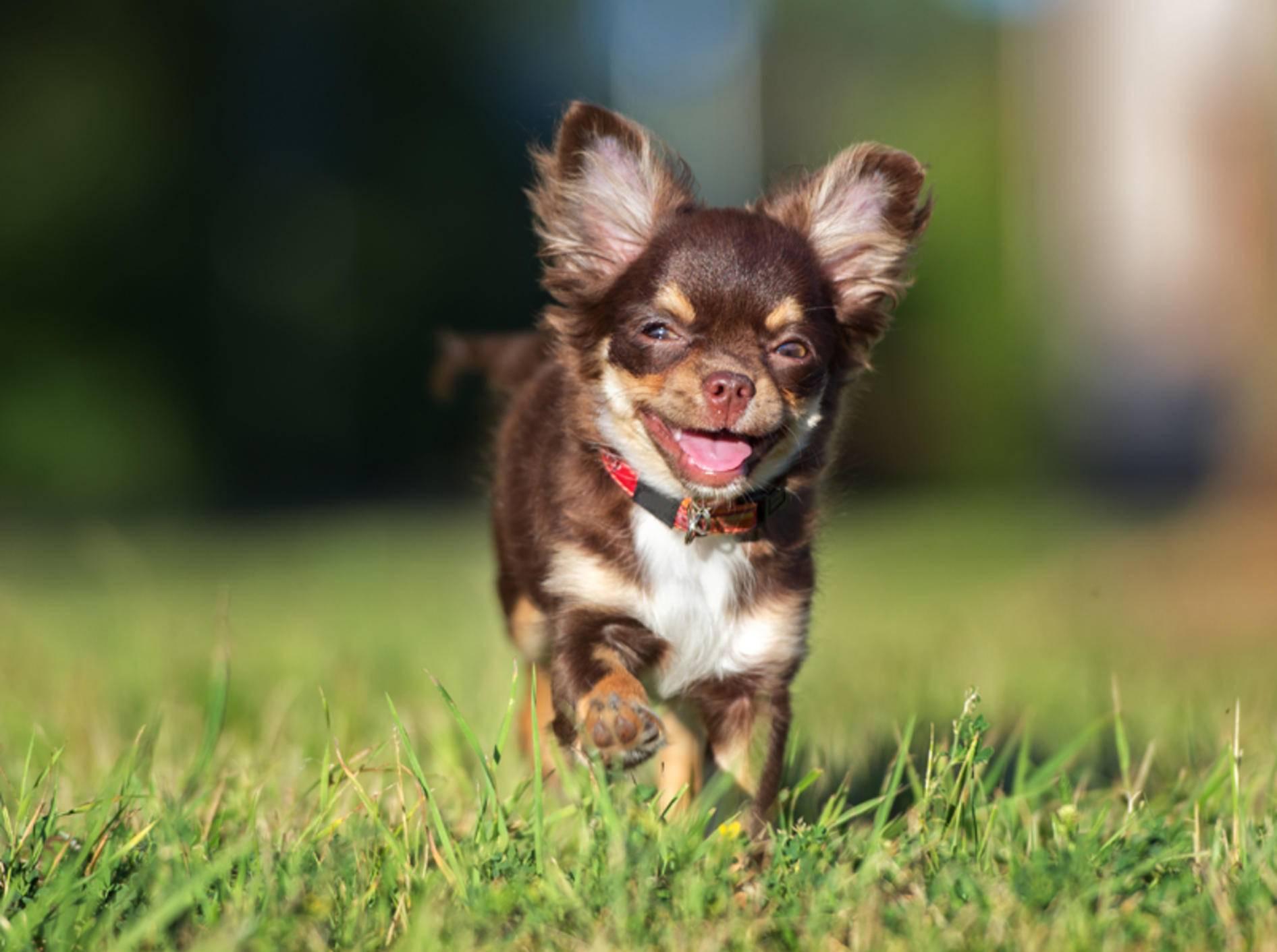 Chihuahuas können die buntesten Fellfarben aufweisen, so wie dieser süße Fratz – Shutterstock / otsphoto
