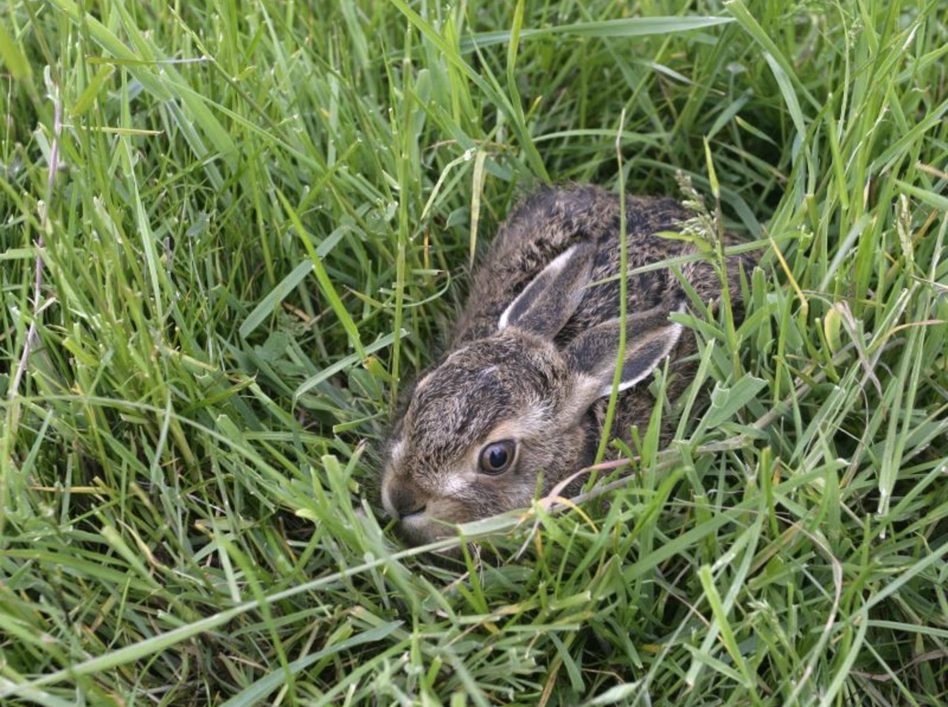 Einsame Feldhasenbabys brauchen nicht immer Hilfe vom Menschen – Shutterstock / Erni