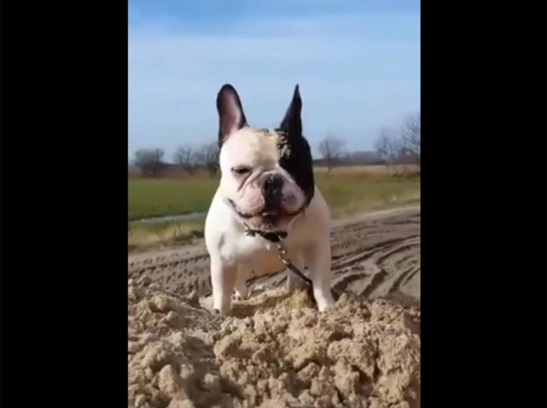 Französische Bulldogge Carlos spielt im Sandhaufen – YouTube / Rumble Viral
