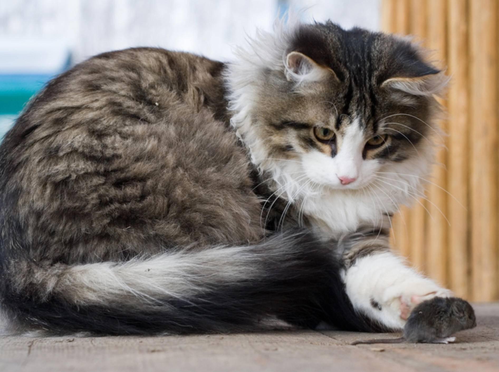 """Hab dich!"": Junge Katze bei der Mäusejagd – Shutterstock / Andrey Stratilatov"