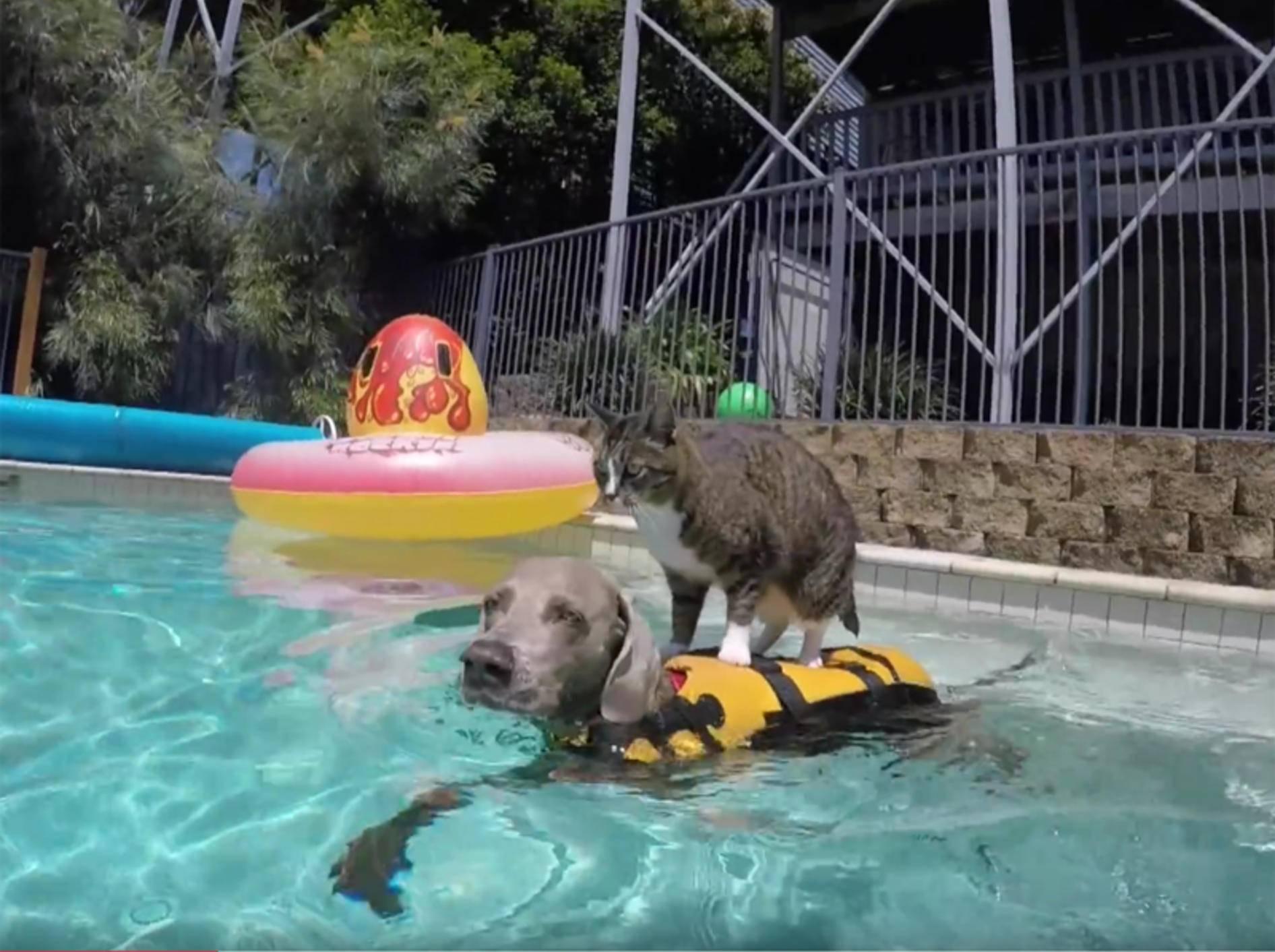 Katze Didga und Hund Ice surfen im Swimmingpool – YouTube / CATMANTOO