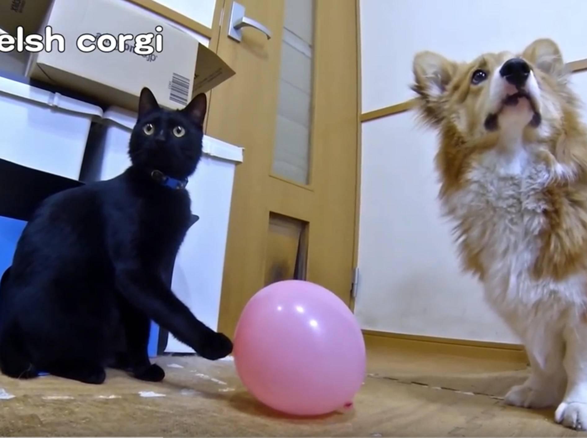 Corgi Roku und Kätzchen Kuro spielen mit Ballon – YouTube / Goro@Welsh corgi