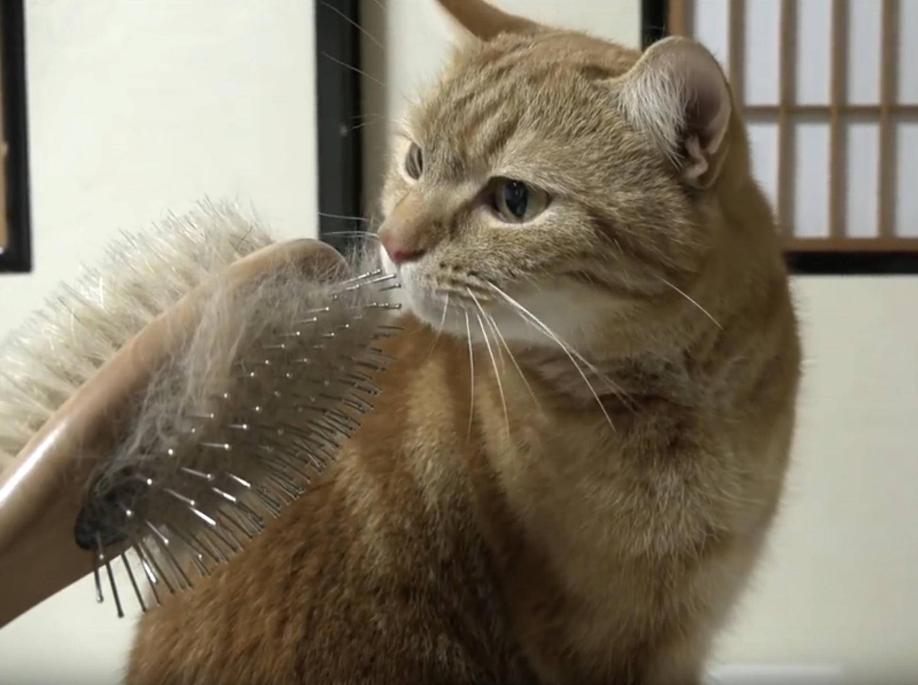 Katzenfreunde genießen die Fellpflege – YouTube / 10 Cats.