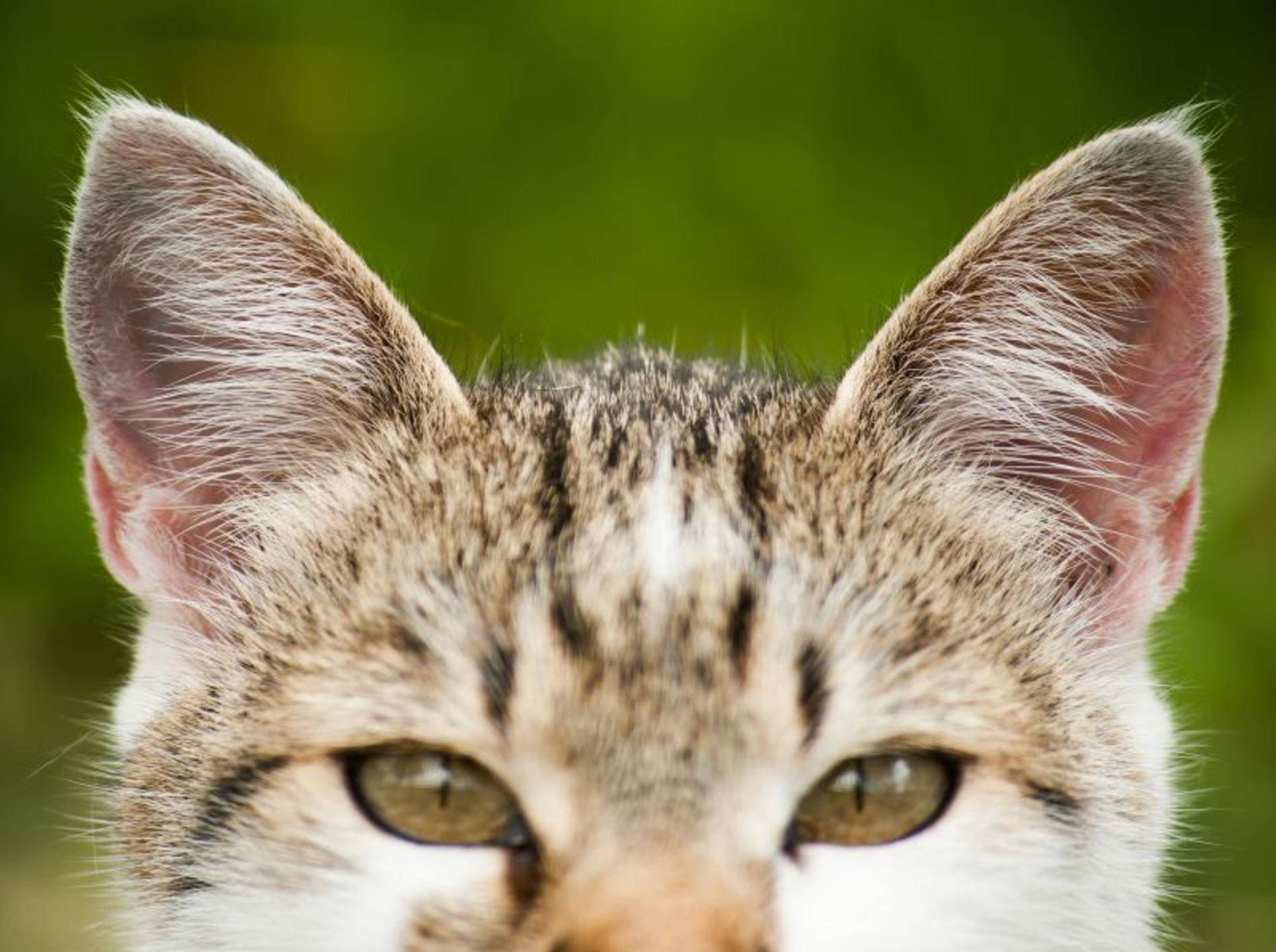 Wenn Katzen plötzlich taub werden, ist meist eine Ohrenkrankheit der Grund – Shutterstock / Csehak Szabolcs