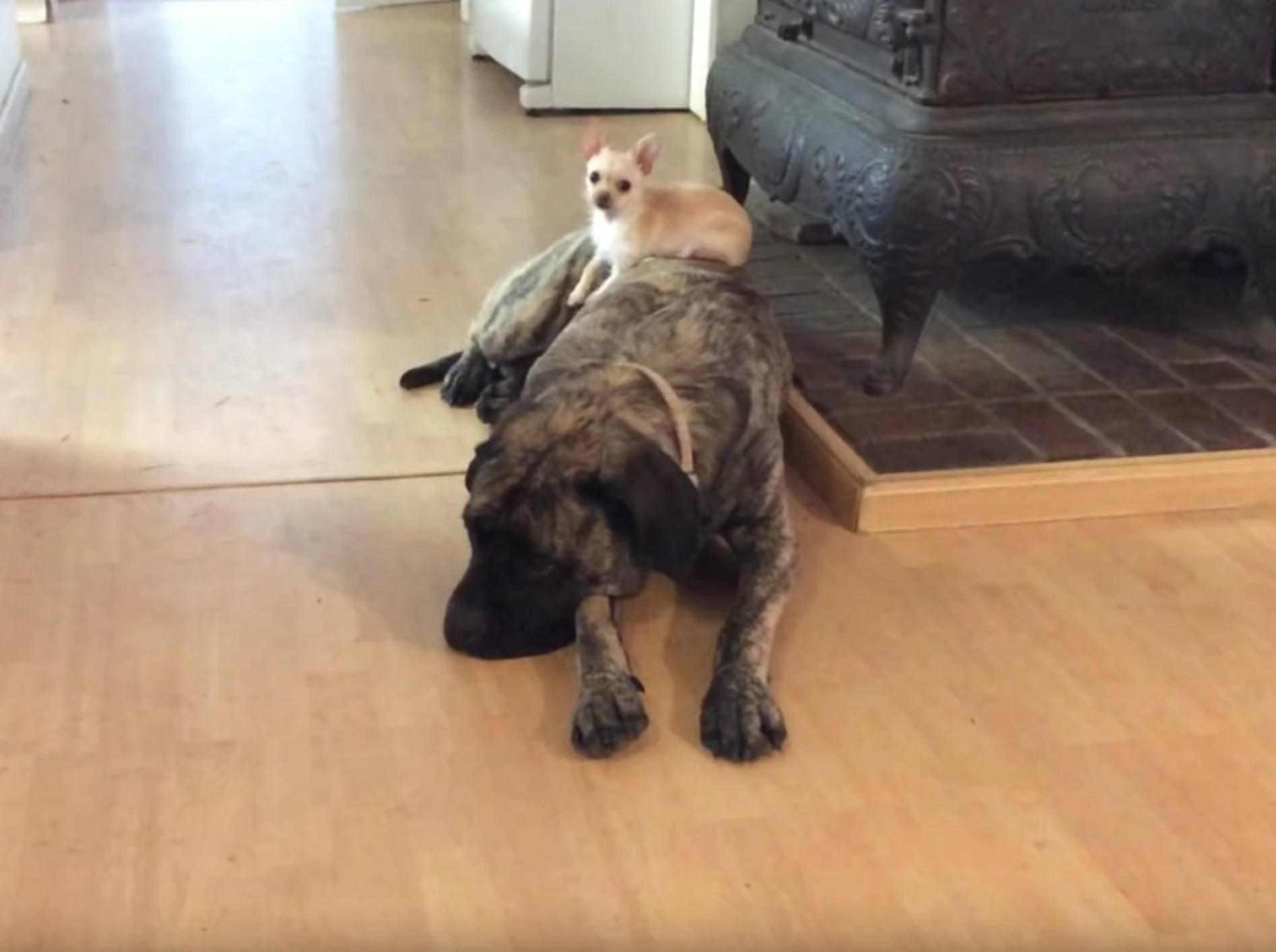 Kleiner Chihuahua macht es sich auf großem Mastiff bequem – YouTube / Sunflower Farm Creamery