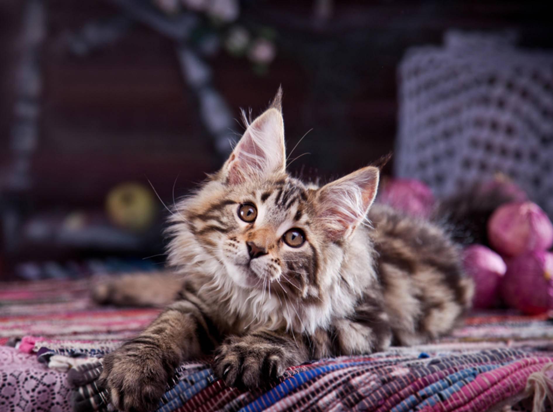 Maine-Coon-Katzen sind neugierig, schlau und nicht nur als Kätzchen sehr verspielt – Shutterstock / dezi