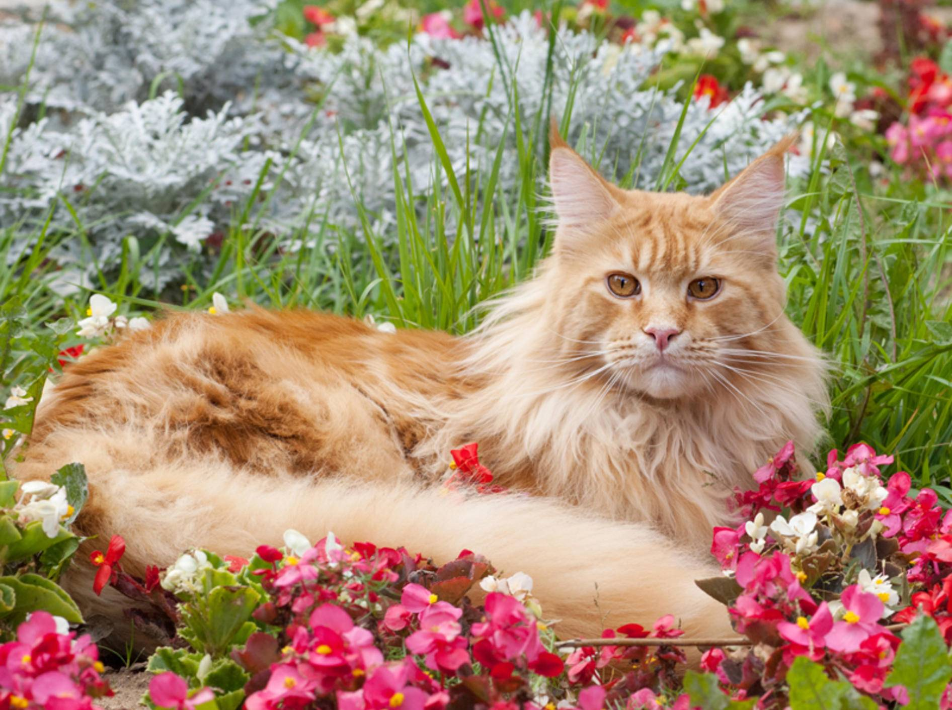 Diese wunderschöne Maine-Coon-Katze fühlt sich im Garten richtig wohl – Shutterstock / Mitrofanov Alexander
