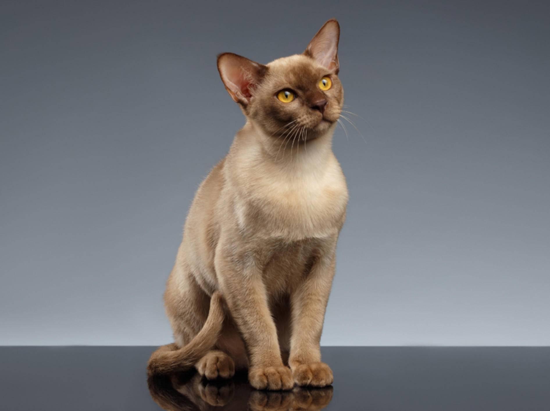 Die bezaubernde Burma-Katze ist in der Regel nicht anfällig für Krankheiten – Shutterstock / Seregraff