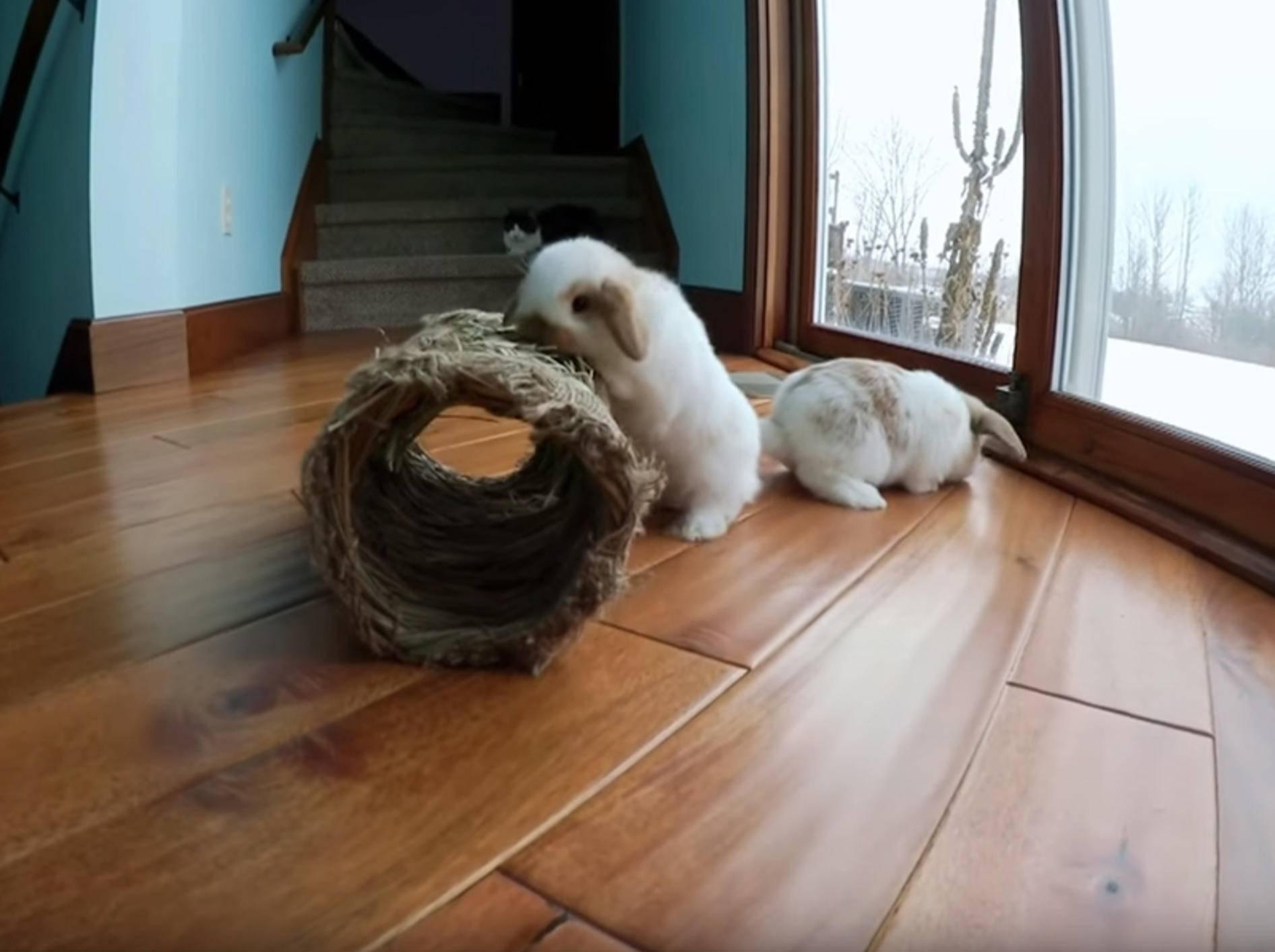 Zwei niedliche Kaninchengeschwister hoppeln und spielen – YouTube / Hook's Hollands - Ohio Holland Lops