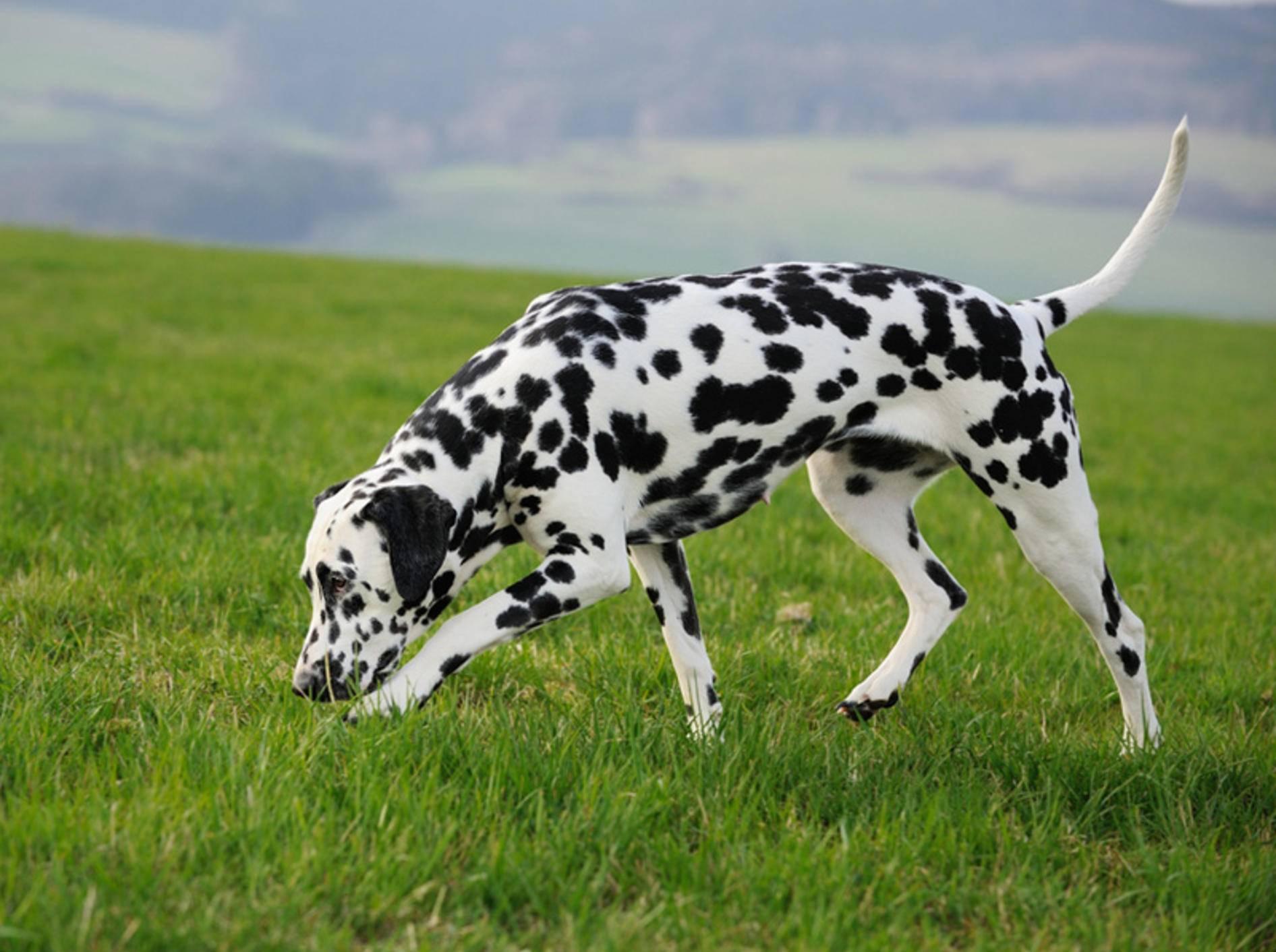 Damit Ihr Hund sicher durchs Gras schnüffeln kann, ist Anti-Giftköder-Training wichtig – anetapics/Shutterstock