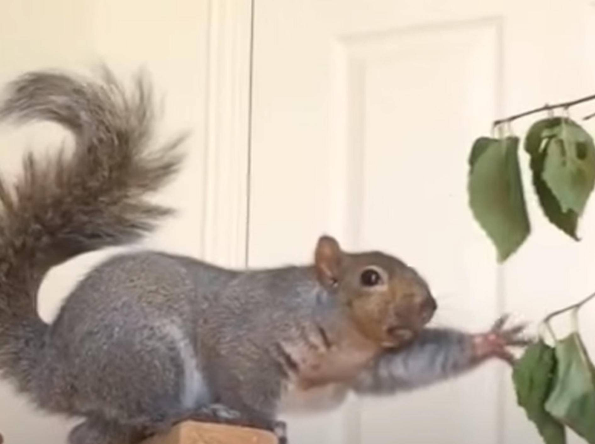 Gerettetes Eichhörnchen macht auf Entertainer – Bild: YouTube / The Dodo
