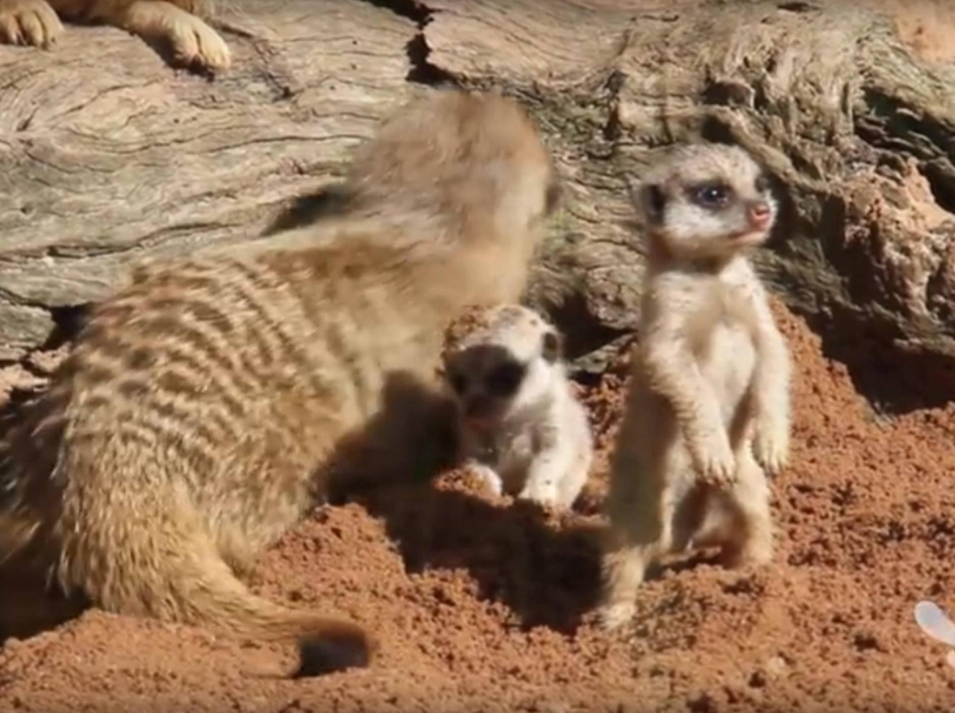 Putzig, wie sich das Baby-Erdmännchen auf die Hinterbeine stellt – YouTube / Taronga Sydney