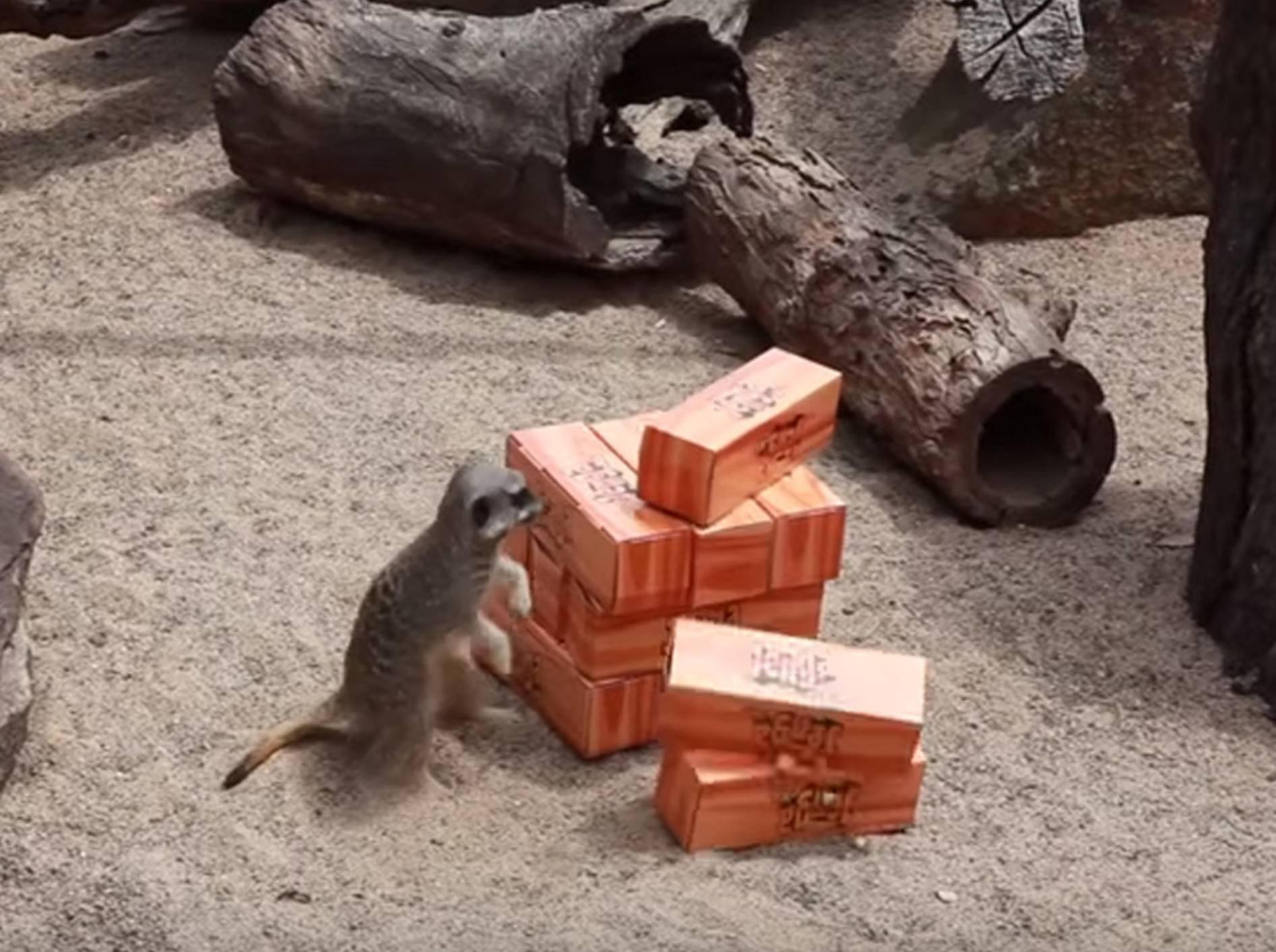 Ohne Plan: Ermännchen spielen Jenga – Bild: YouTube / Symbio Wildlife Park