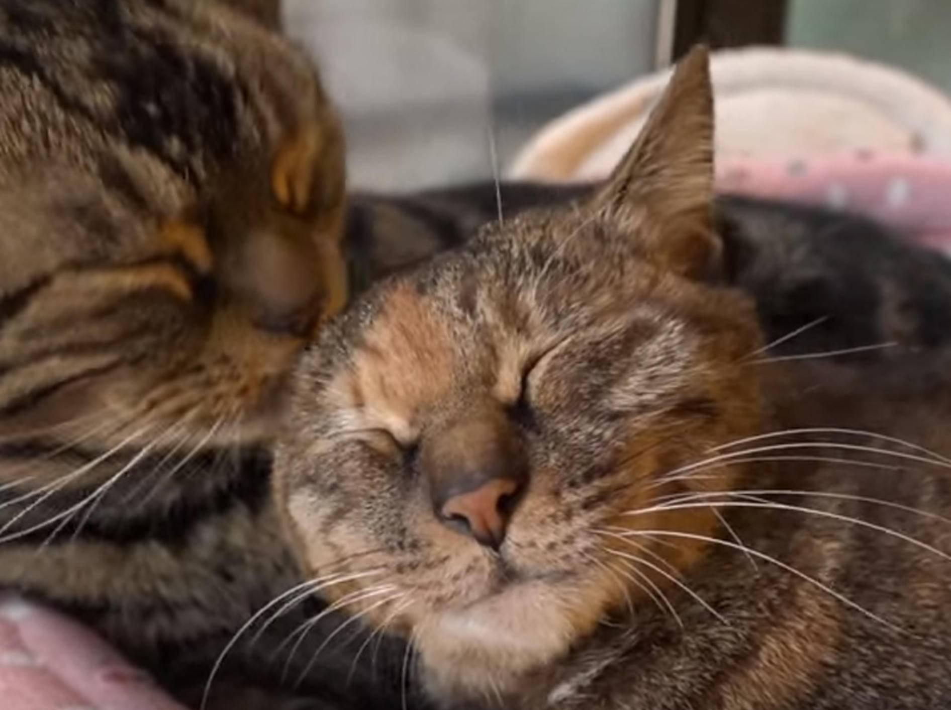 Schmusen für Fortgeschrittene: Katzen haben sich lieb – Bild: YouTube / 10 Cats.