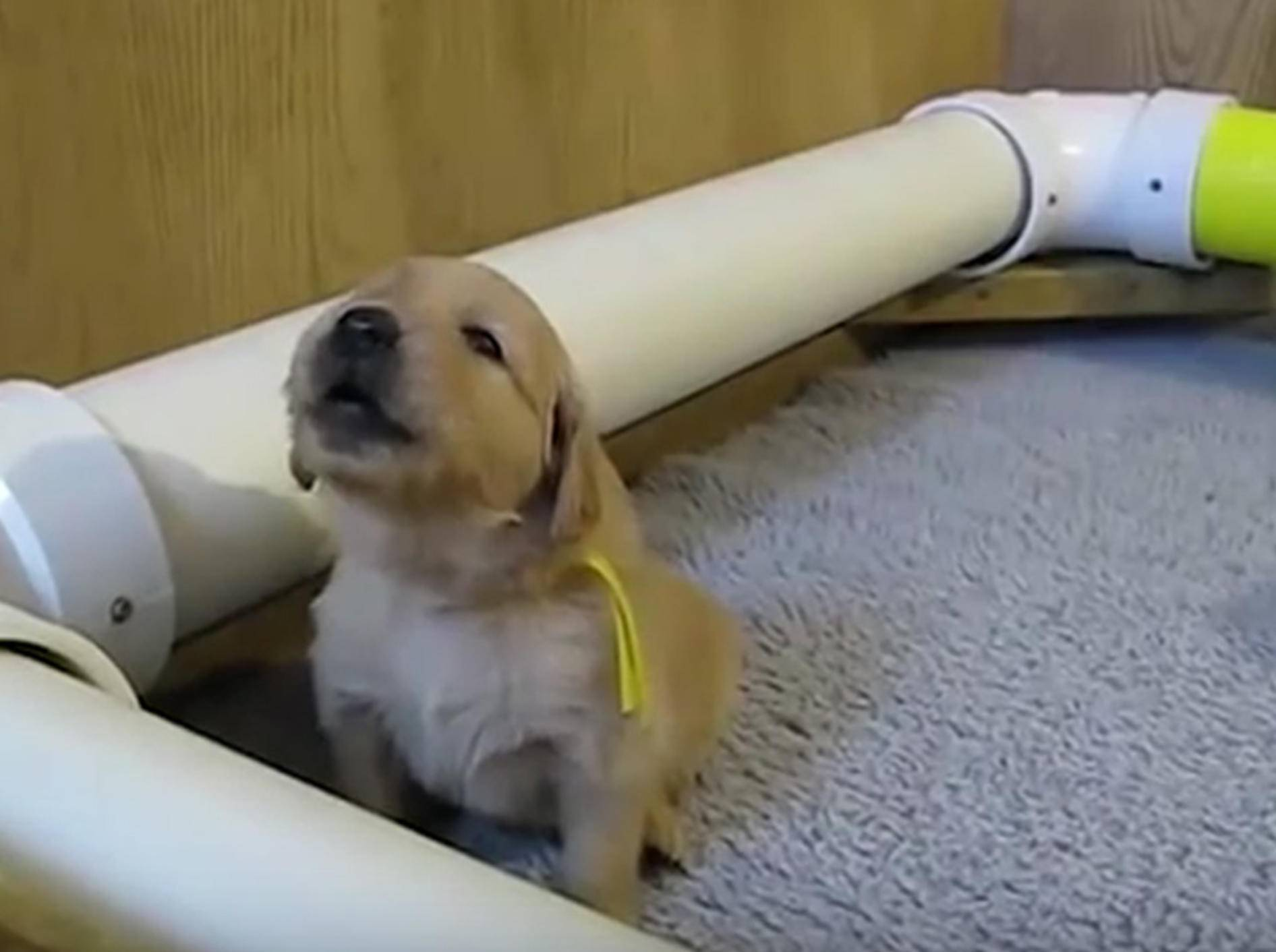 Zum Dahinschmelzen: Wenn Hündchen versuchen, zu heulen – YouTube / Heartwarming Animals