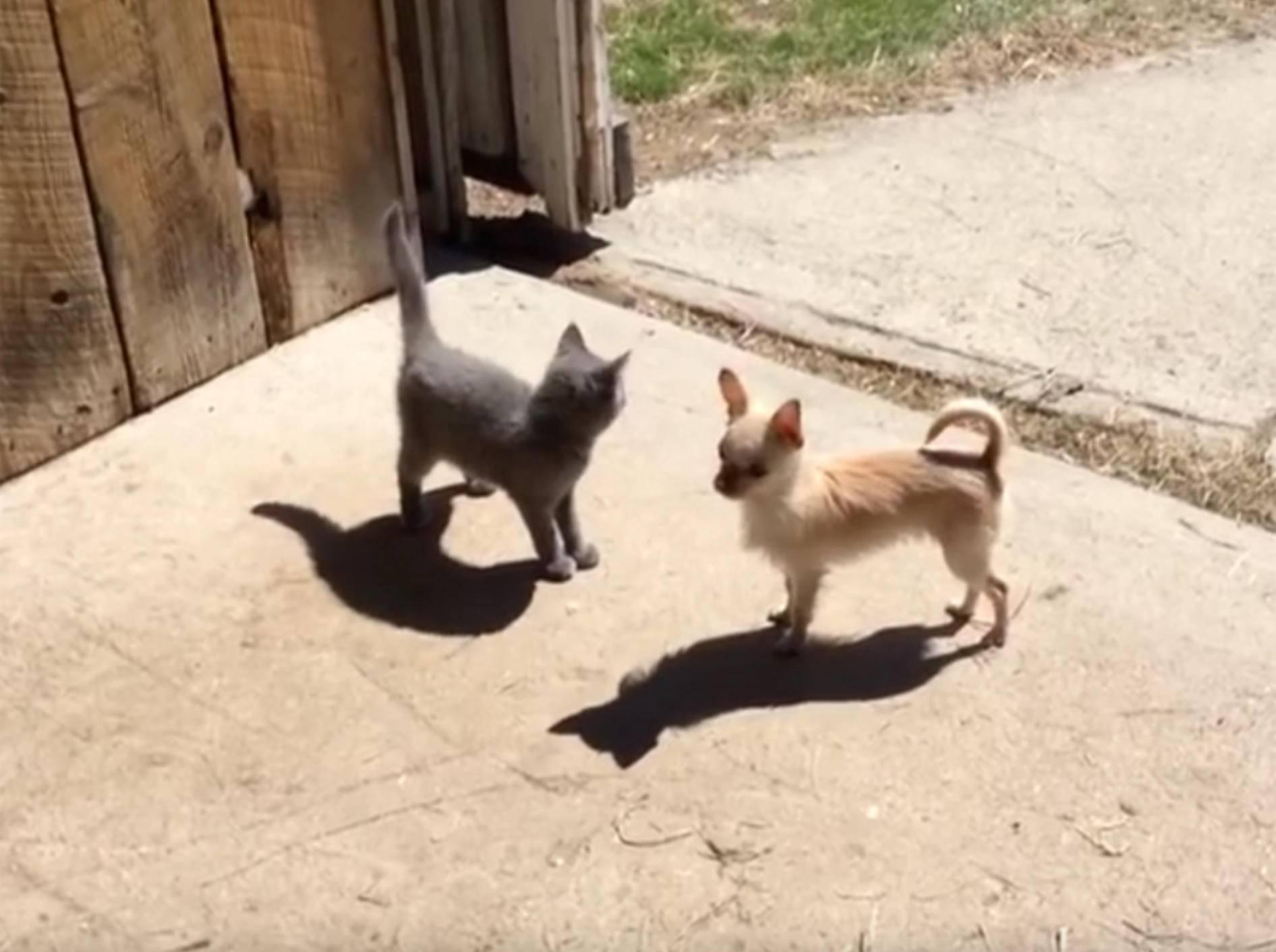 Putziger Chihuahua Lola spielt Verstecken mit den Kätzchen – YouTube / Sunflower Farm Creamery