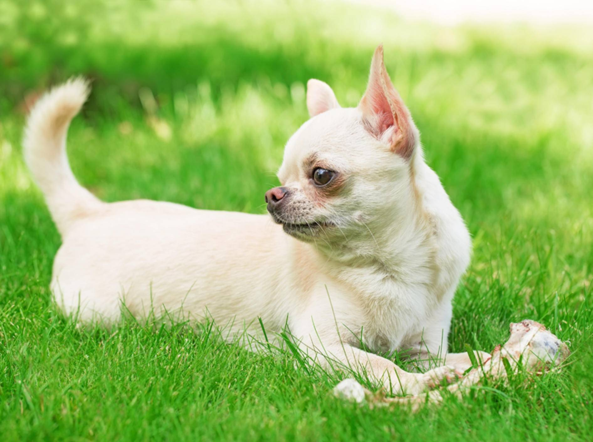Chihuahuas haben gegen einen leckeren Knochen ab und zu nichts einzuwenden – Shutterstock / Little Moon