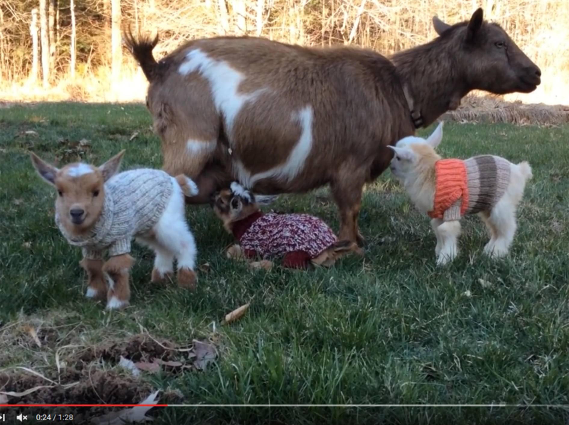 Drei kleine Zicklein haben es muckelig warm in selbstgestrickten Wollpullis – YouTube / Sunflower Farm Creamery