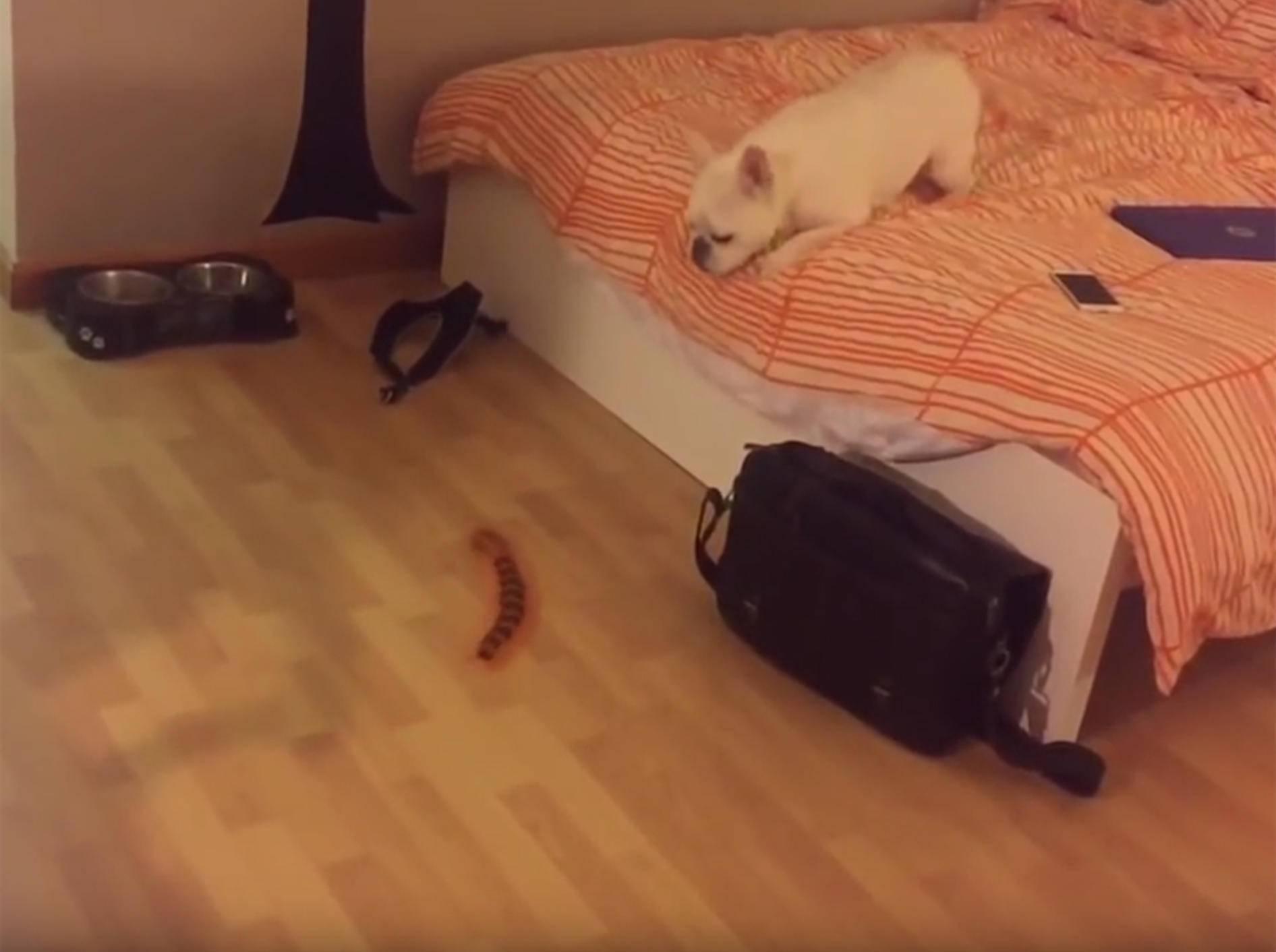 Französische Bulldogge bellt Tausendfüßler-Roboter an – YouTube / Rumble Viral