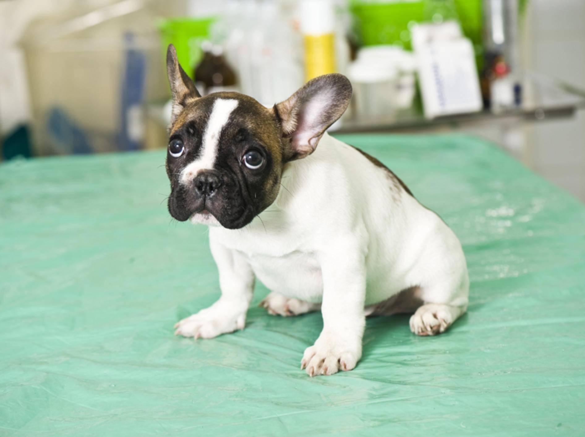 Leidet ein Hund an einer Blasenentzündung, ist dies ein Fall für den Tierarzt – Shutterstock / Kachalkina Veronika