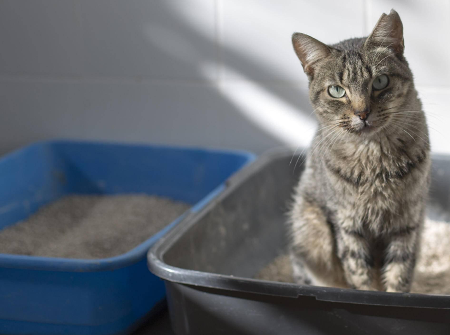 Wenn Katzen in ihrem Katzenklo nicht nur ihr Geschäft verrichten, sondern darin schlafen, sollten Sie zum Tierarzt gehen – Shutterstock / Davynia