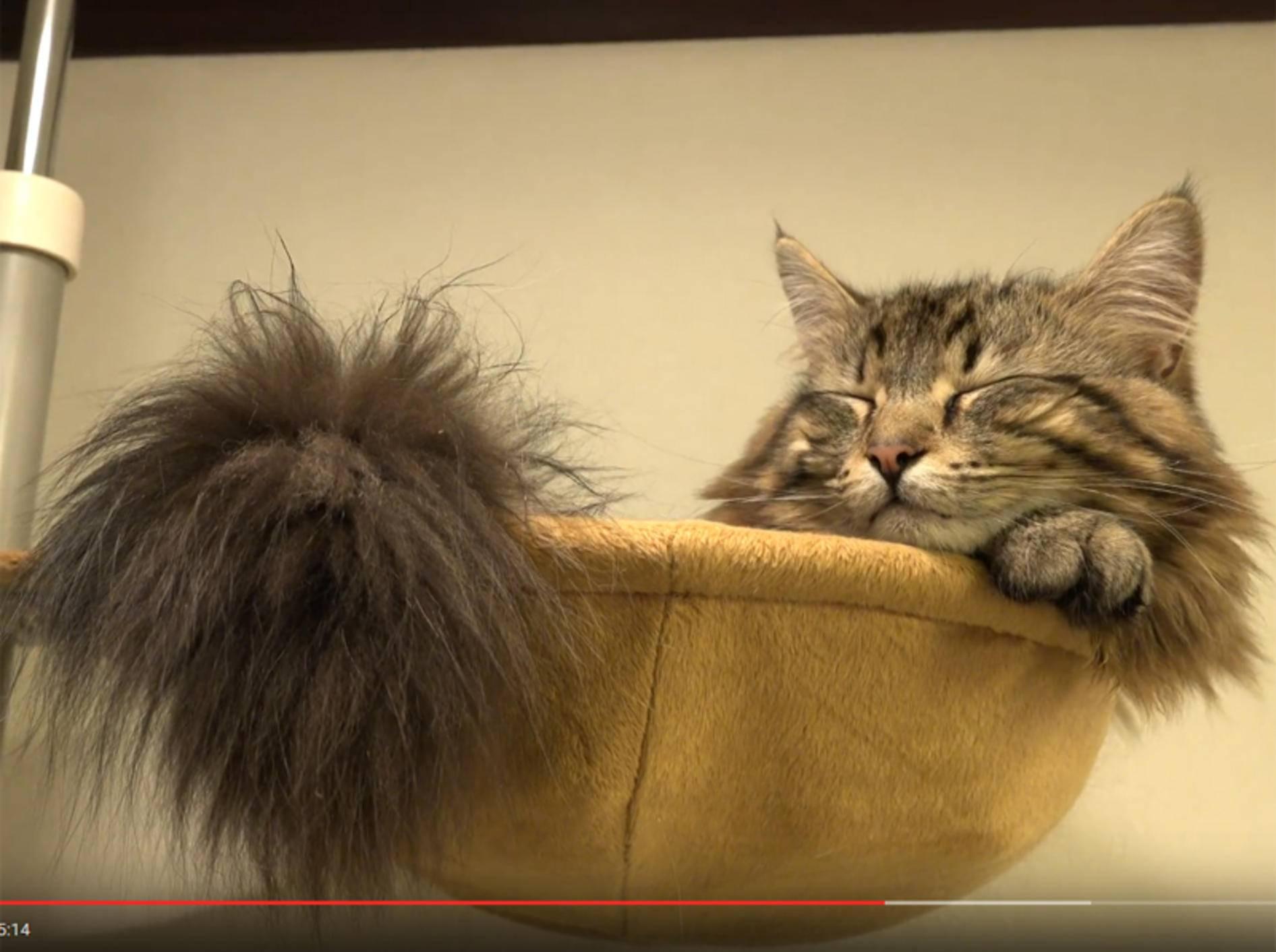 Flauschkaterchen Osamu ist ein Jahr alt geworden – YouTube / 10 Cats.