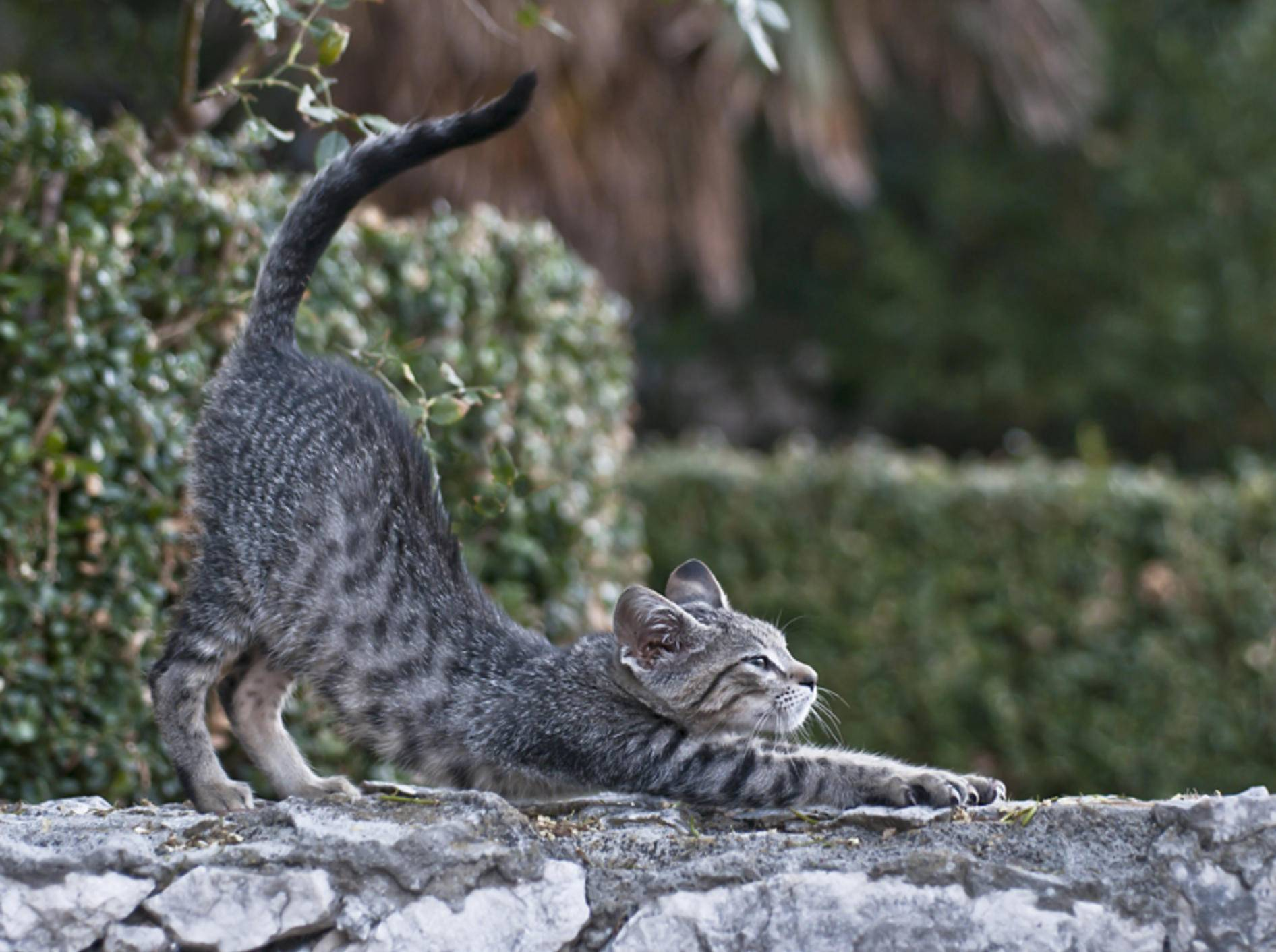 Wenn Katzen ihren Plüschpopo in die Höhe recken, fühlen sie sich in der Regel wohl – Shutterstock / bodorka