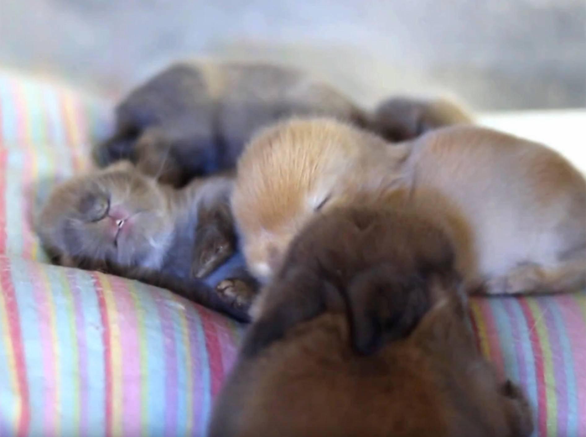 Minikleine Kaninchenbabys schlafen und träumen – Shutterstock / Hook's Hollands - Ohio Holland Lops