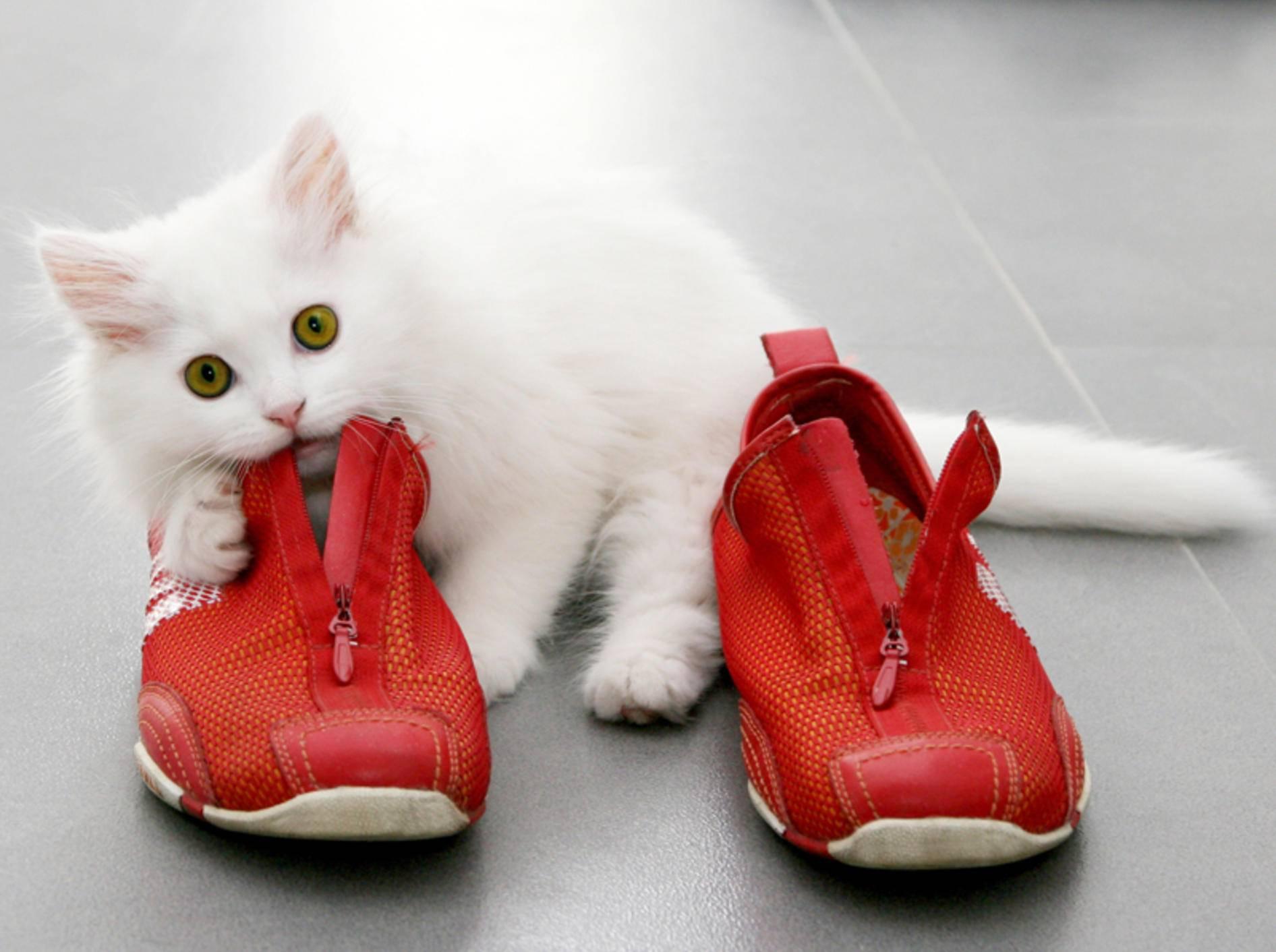 """Diese flauschige Katze findet: """"An Schuhen knubbeln macht Spaß!"""" – Shutterstock / SaNa"""