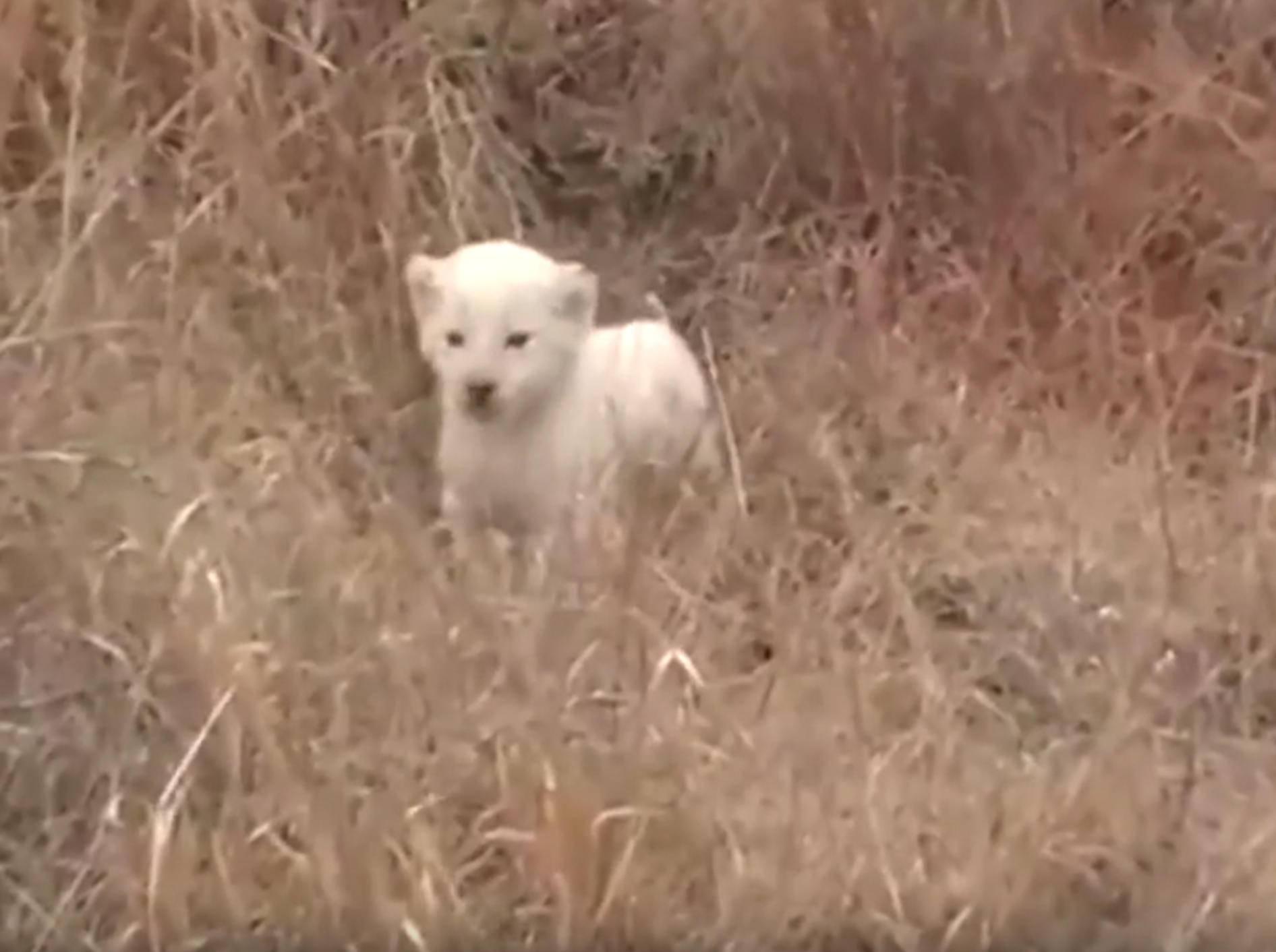 Hinreißend süßes Löwenbaby will furchteinflößend wirken – YouTube / Earth Touch