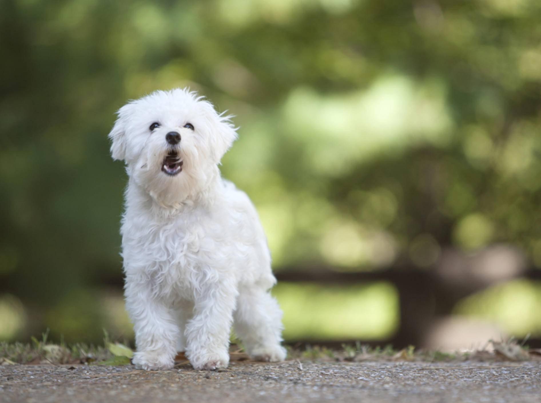 Bellender Malteser-Hund: Was möchte der süße Wuschel damit wohl mitteilen? – Shutterstock / Mary Rice