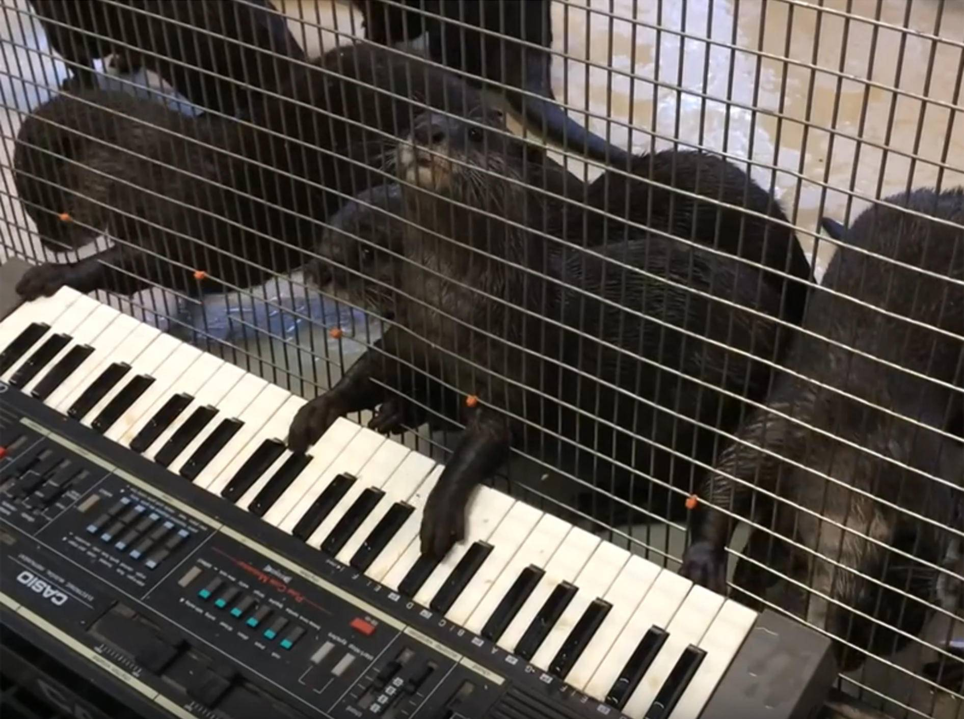 Ein Klavier, ein Klavier! Süße Otter sind sehr musikalisch – YouTube / Smithsonian's National Zoo