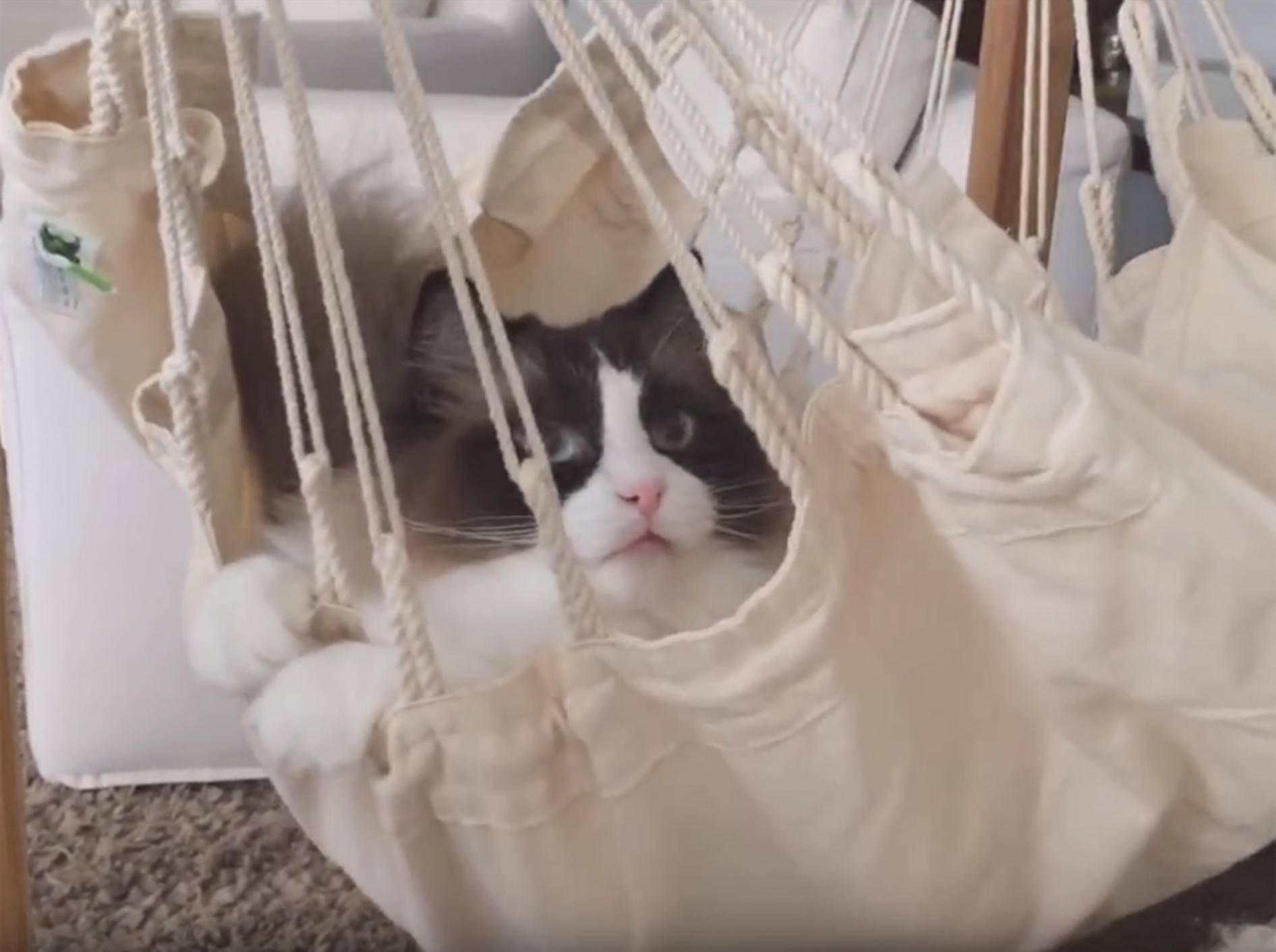 Ragdoll-Kater Timo bekommt eine neue Hängematte – YouTube / Xiedubbel
